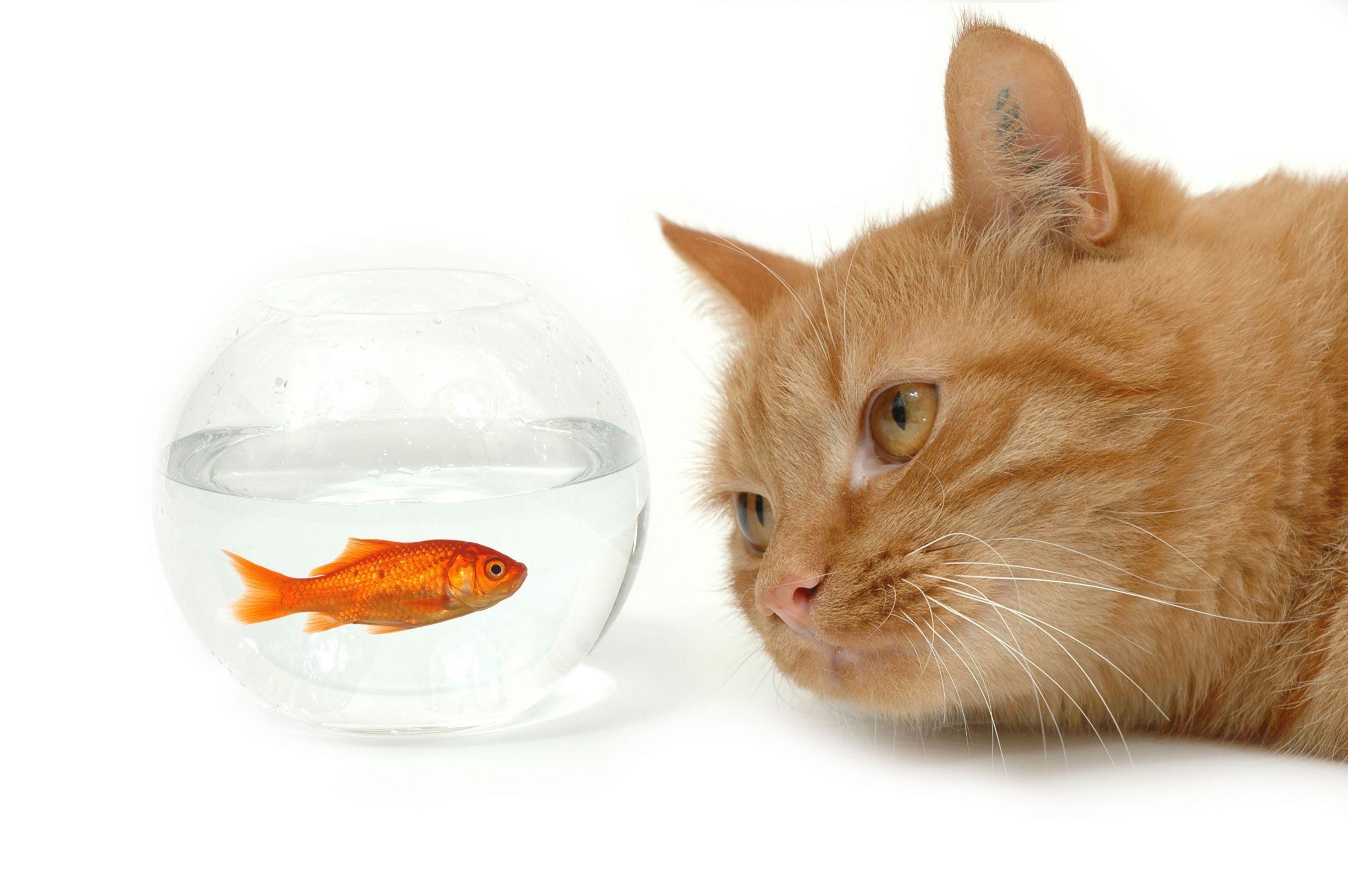 серый кот с рыбкой  № 692273  скачать