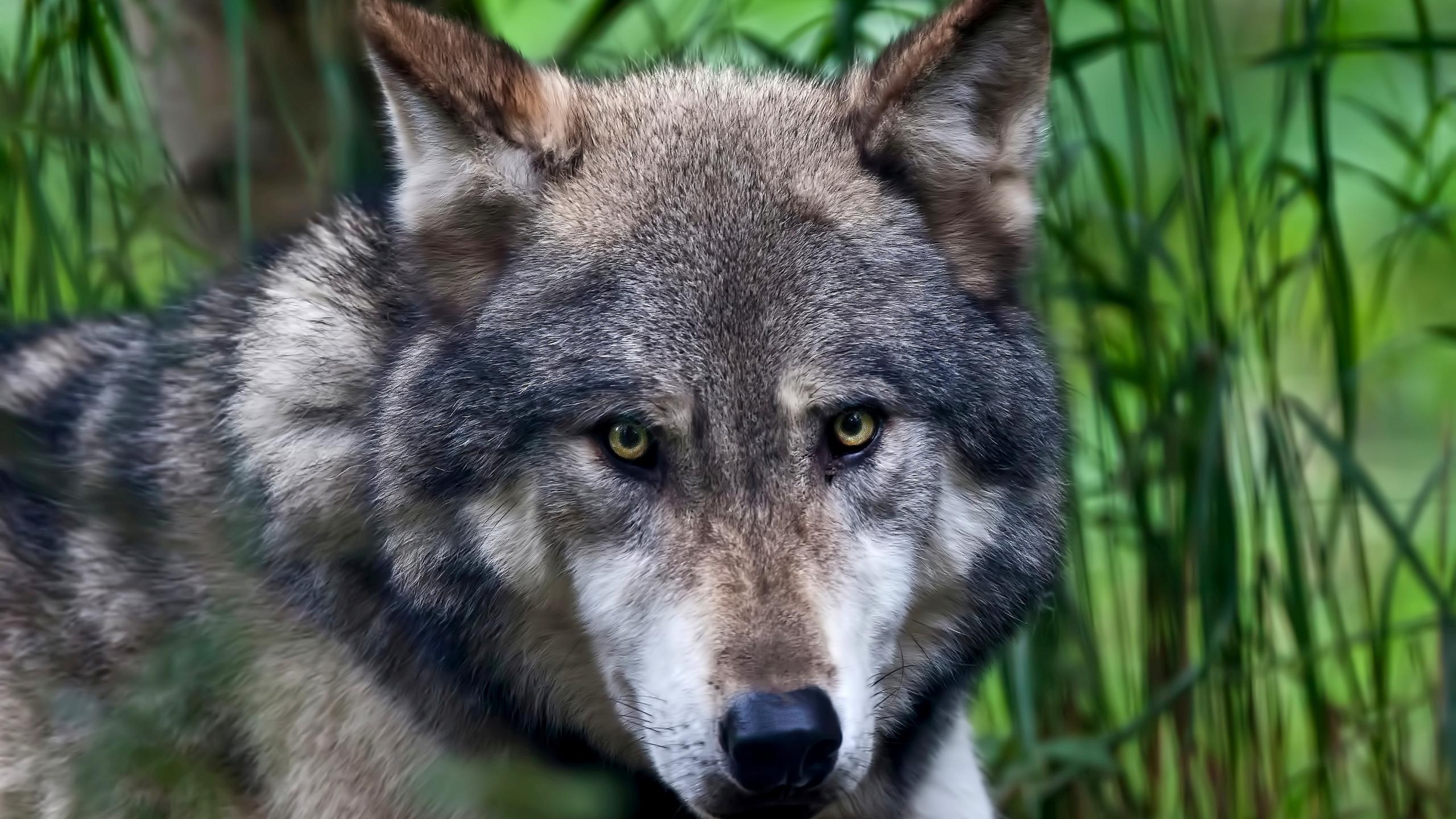этом фото волка на фоне города уголок доу