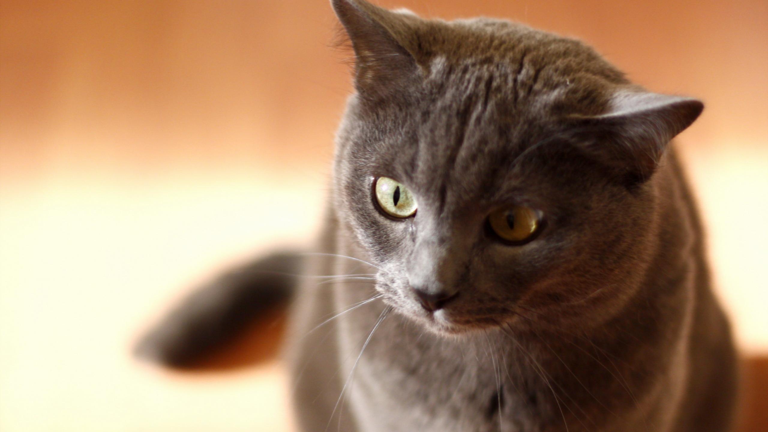 Серый кот  № 411889  скачать
