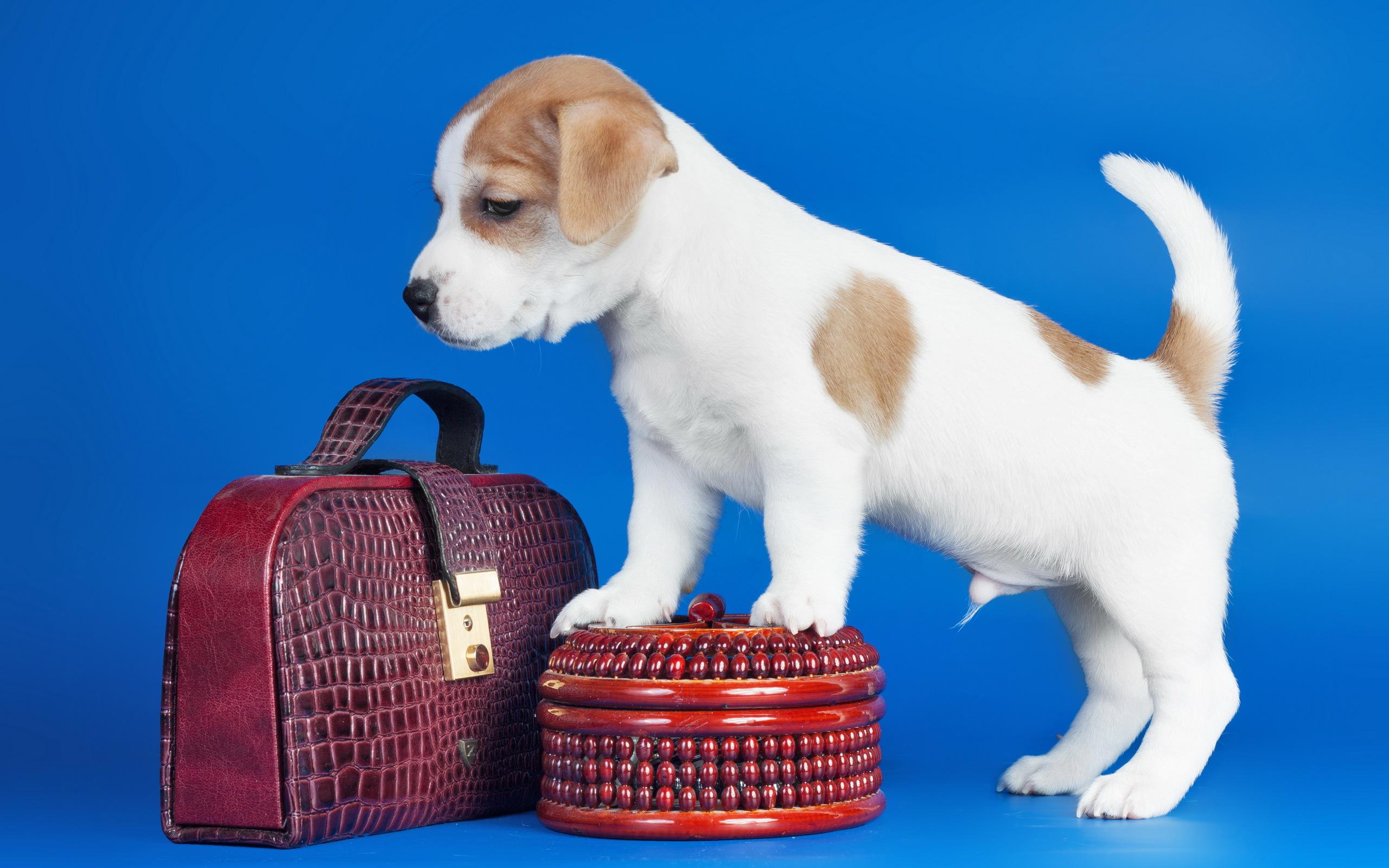собака пакет сумка  № 1143261 загрузить