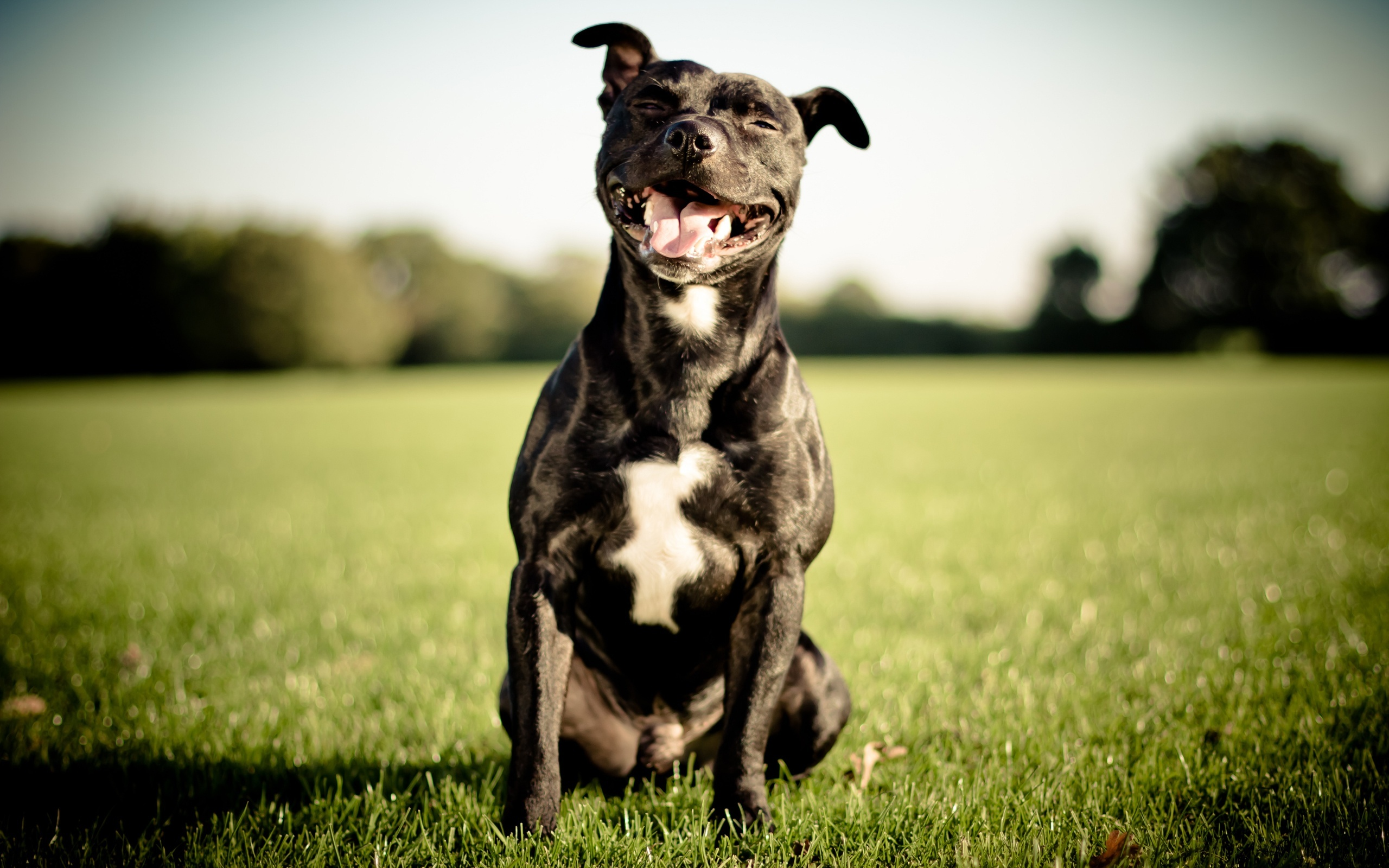 Le Staffordshire Bull Terrier : le staffie - Page 4 Staffordshire-bull-terrier