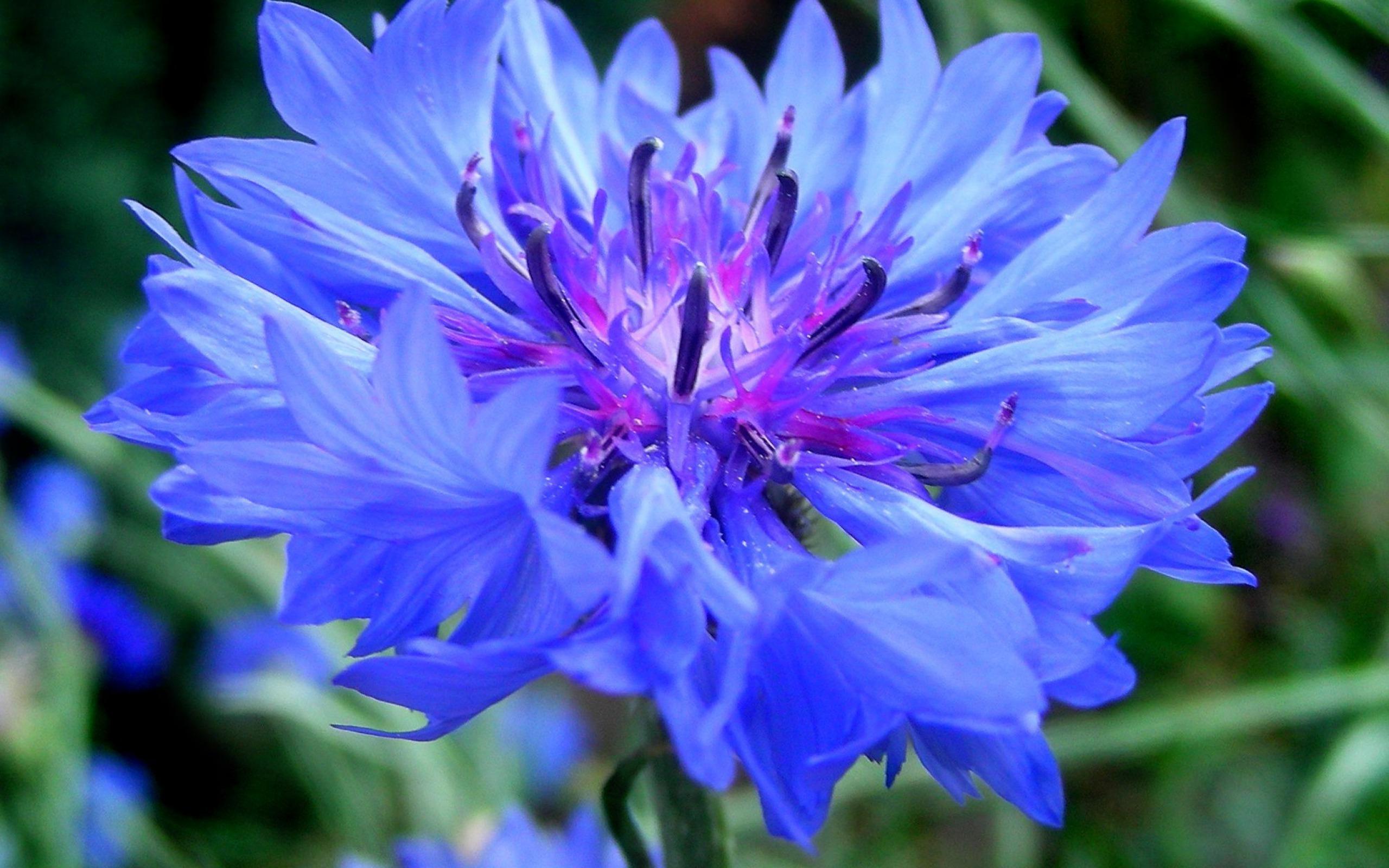 Василёк цветы