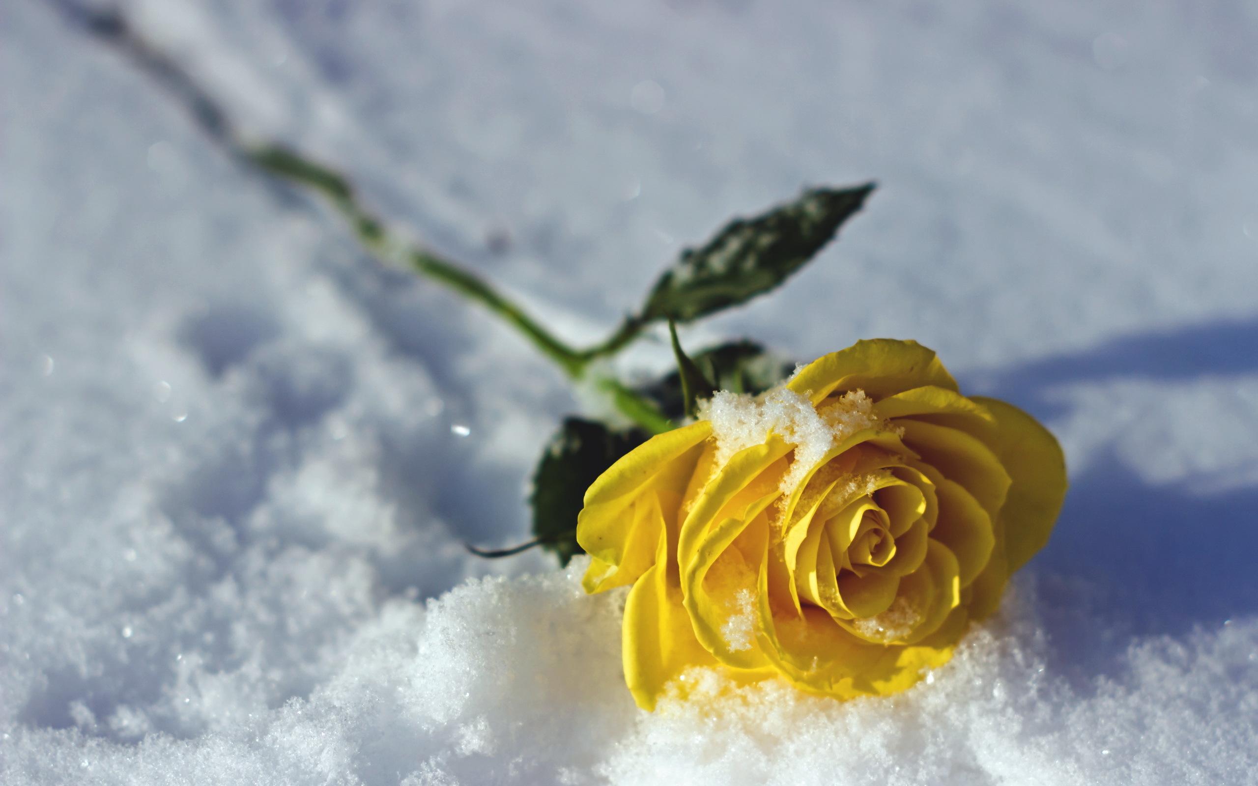 Открытка с цветами на снегу, открытка мужчине зимние