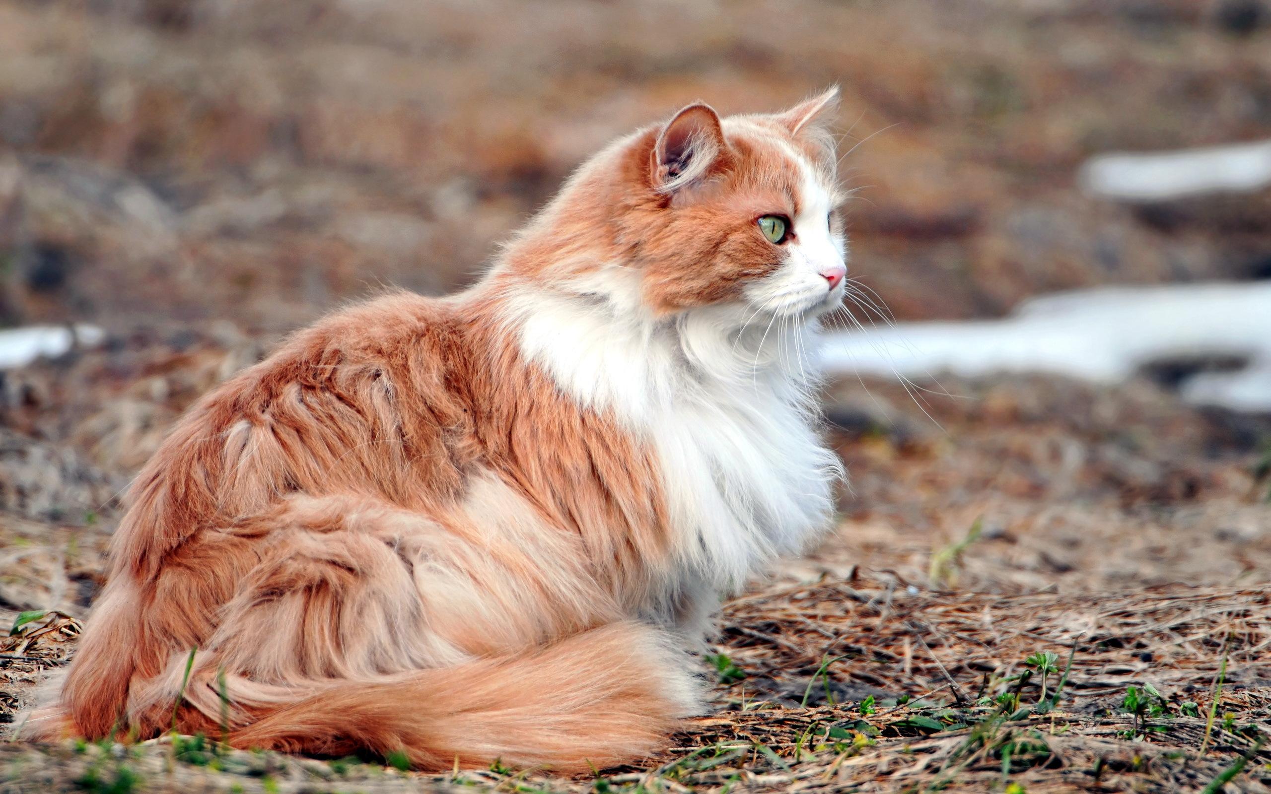 природа животные кот белый nature animals cat white  № 102720 загрузить