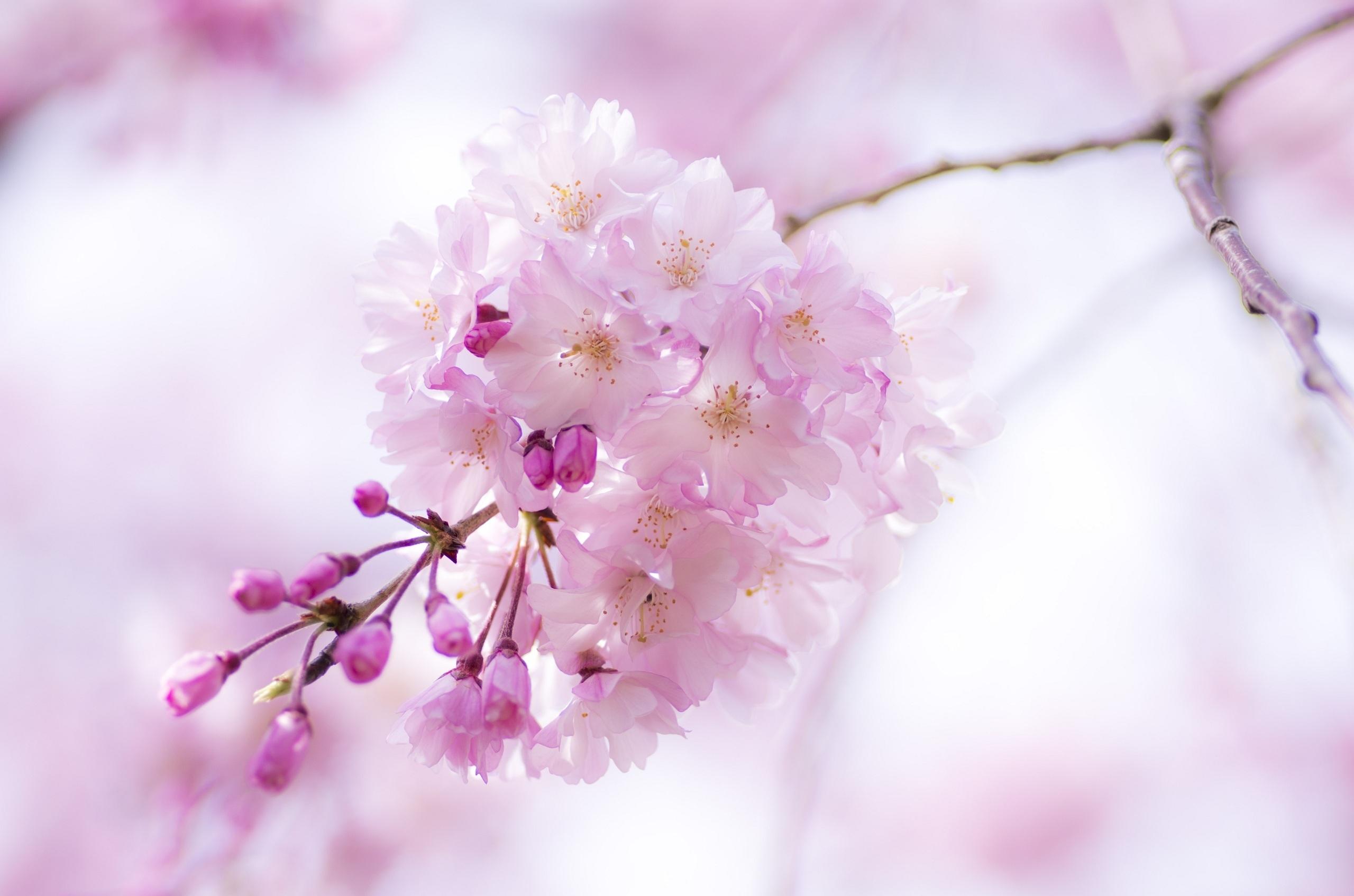 нежные цветочки на ветке  № 1333930  скачать