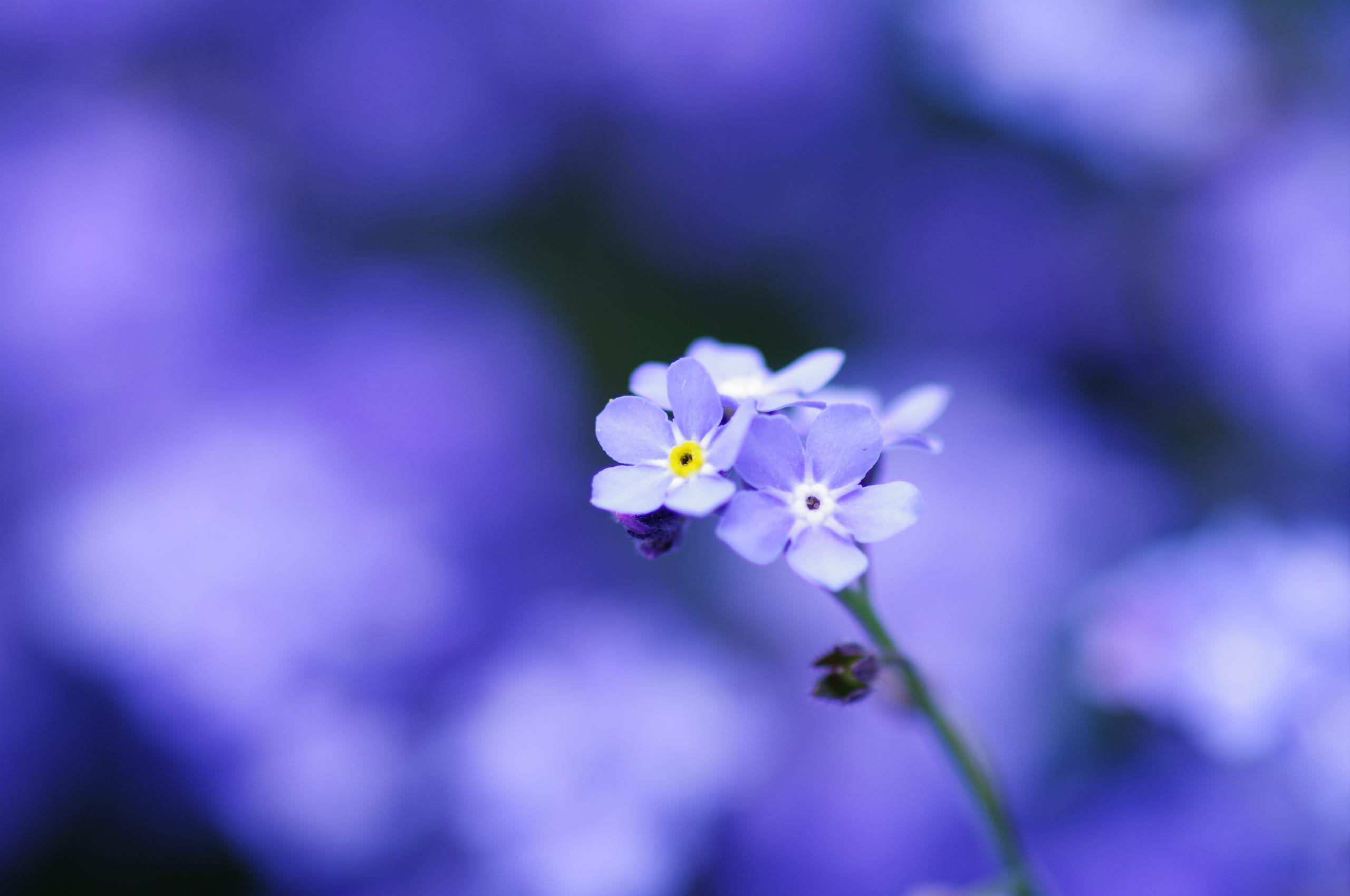 синие цветы незабудки крупный план роса  № 2779637 бесплатно