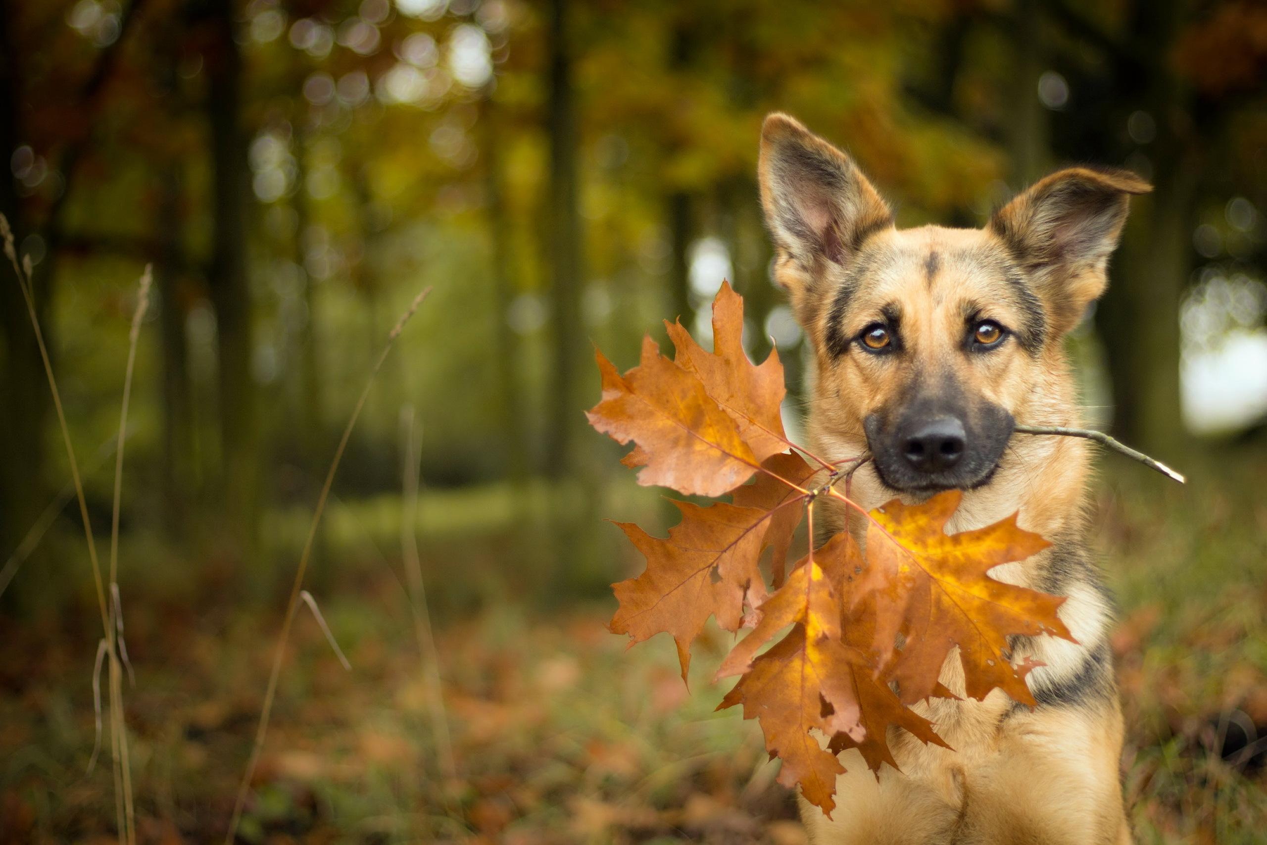 природа животные собака осень листья  № 2019419  скачать