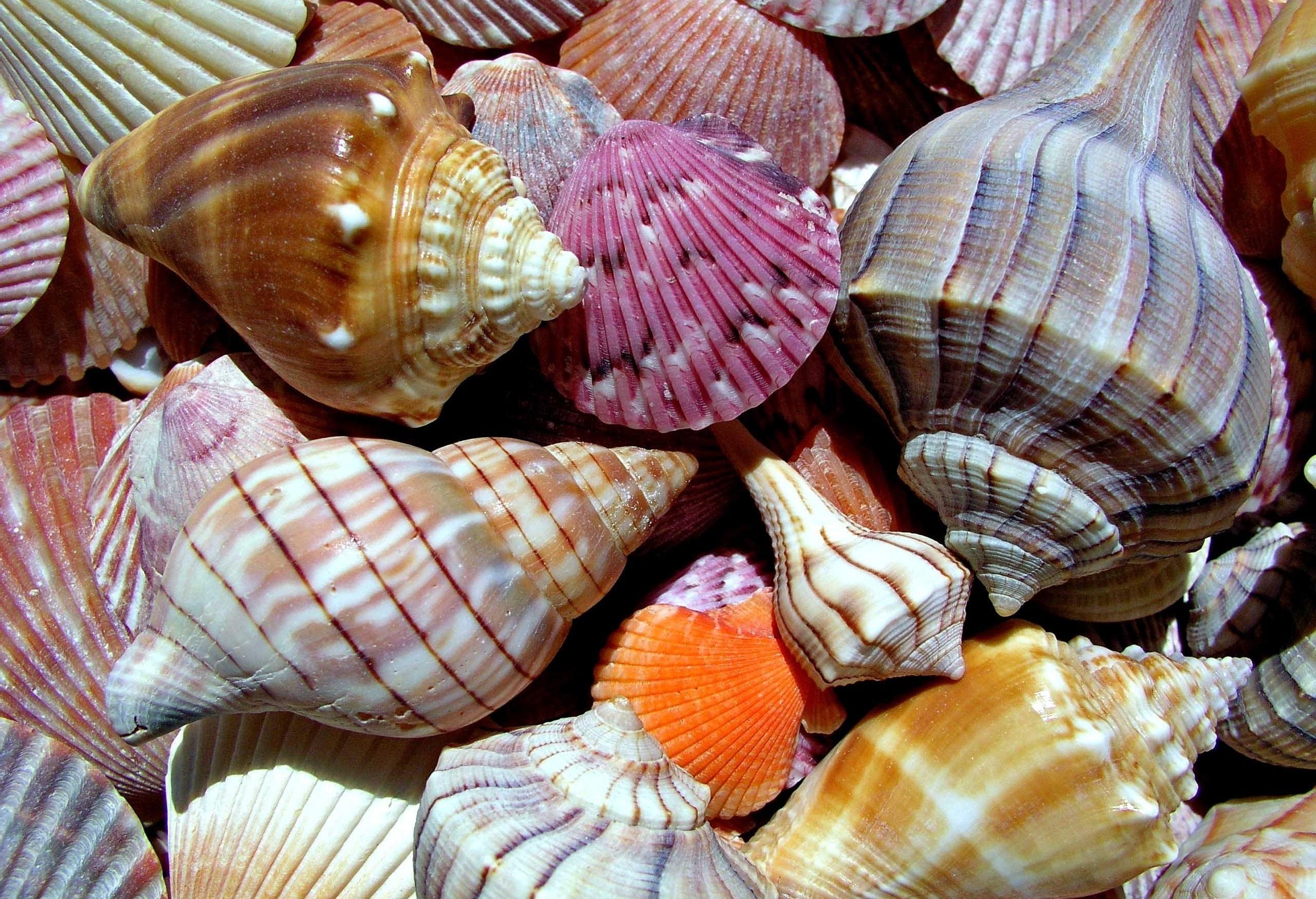 Самые красивые морские ракушки фото