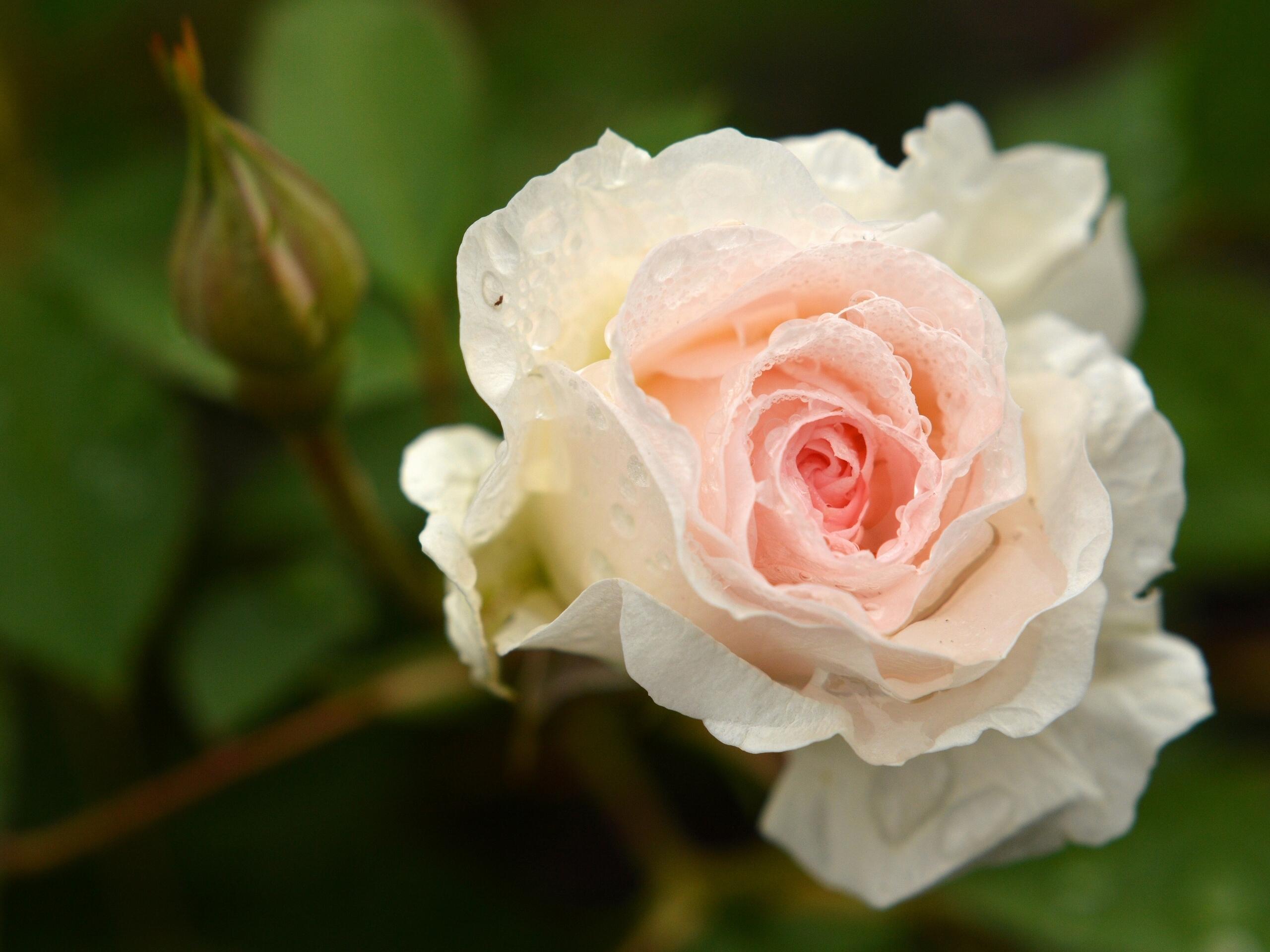 запрос кавычки картинки кремовые бутоны роз можете синхронизировать