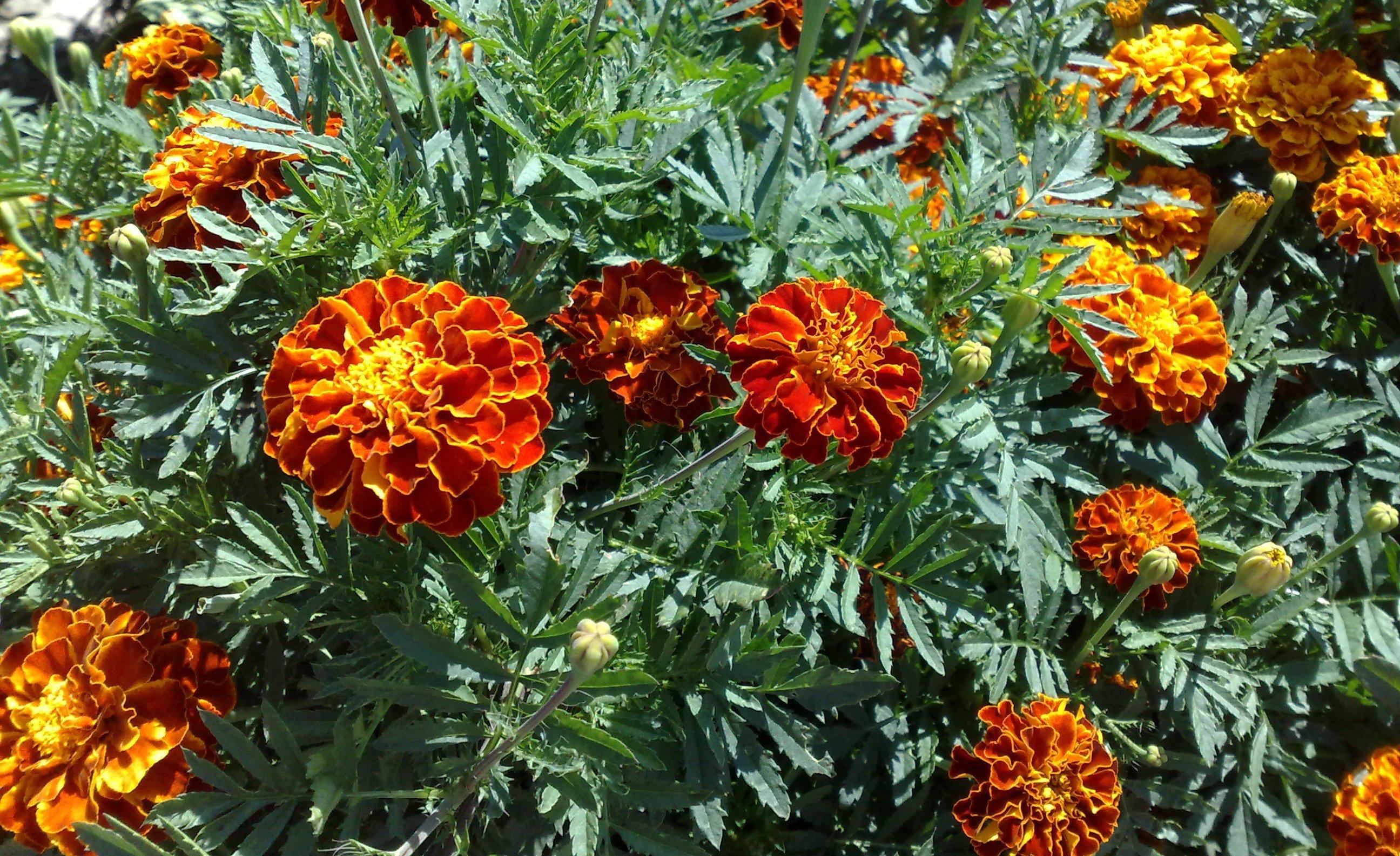 Цветок бархотки