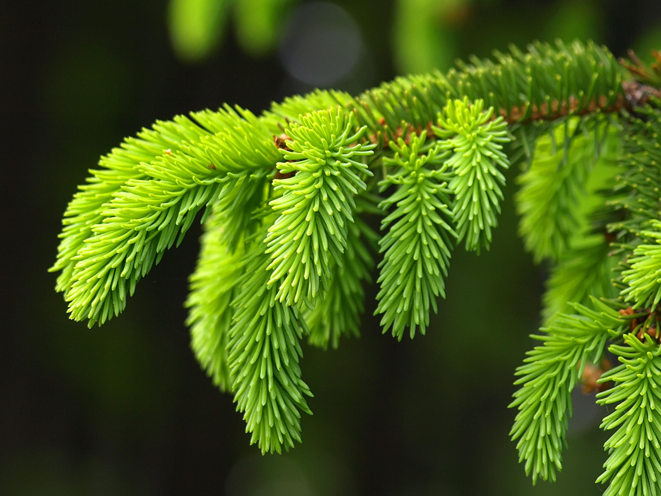 природа деревья ель  № 316203 бесплатно