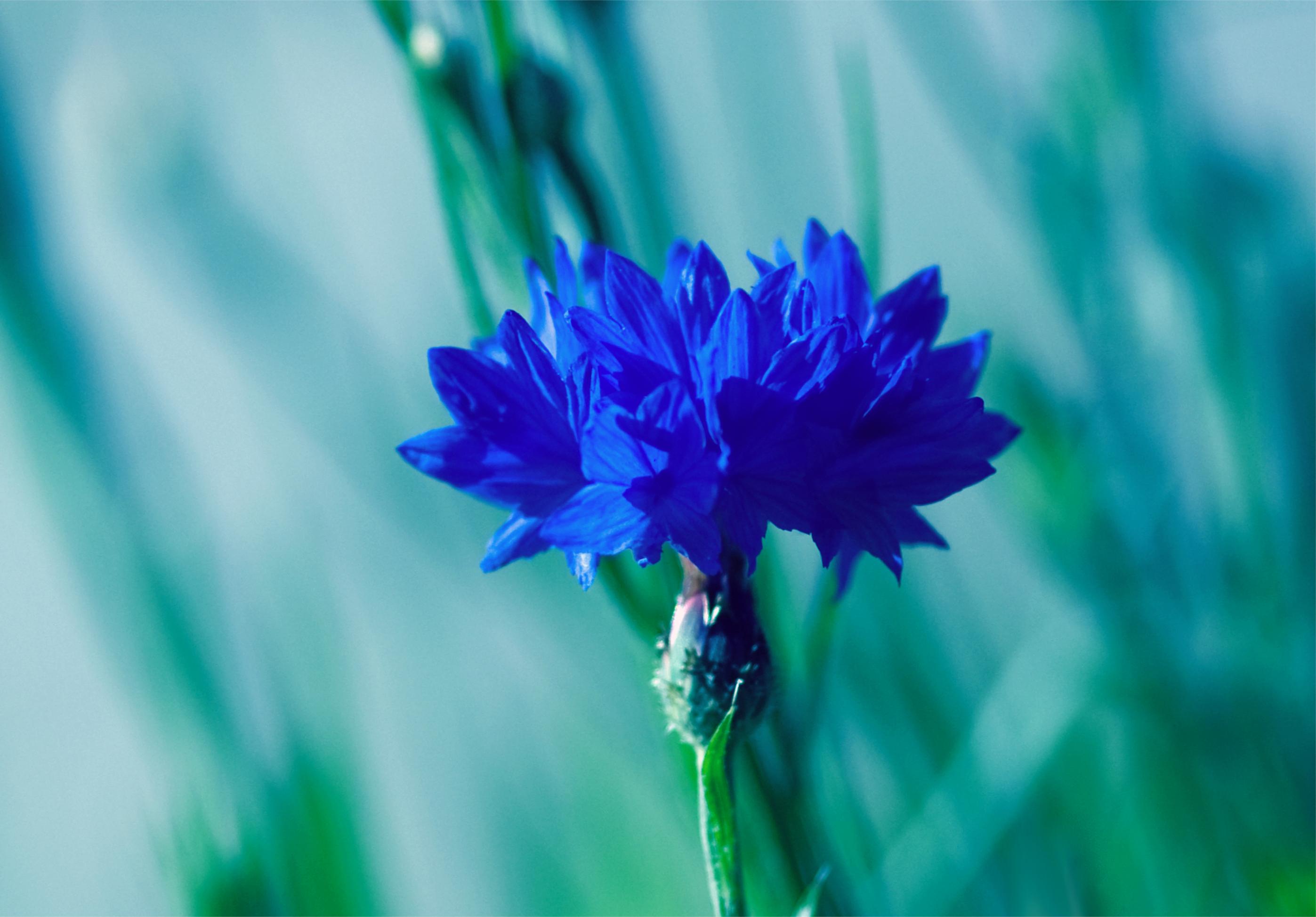 природа синие цветы nature blue flowers  № 1376516 бесплатно