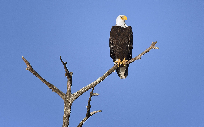 картинка орел сидит кольце