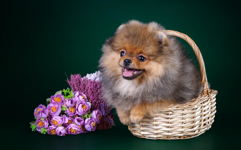 Прикольные мультиков, открытка с днем рождения с собакой шпиц