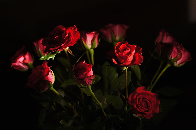 Бордовые розы обои для рабочего стола