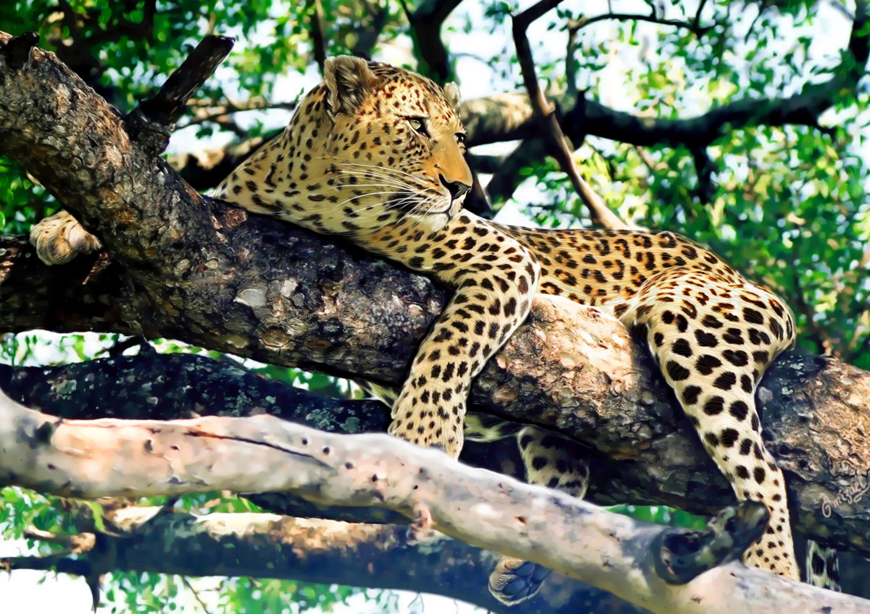 природа животные Гепарды камни трава дерево горизонт  № 276768 без смс