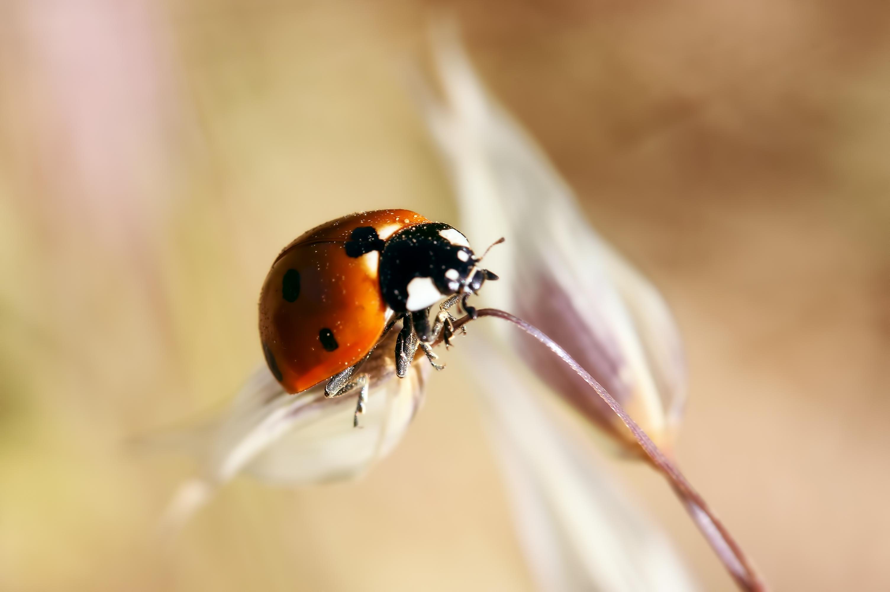 природа насекомое божья коровка цветок  № 3008131 загрузить