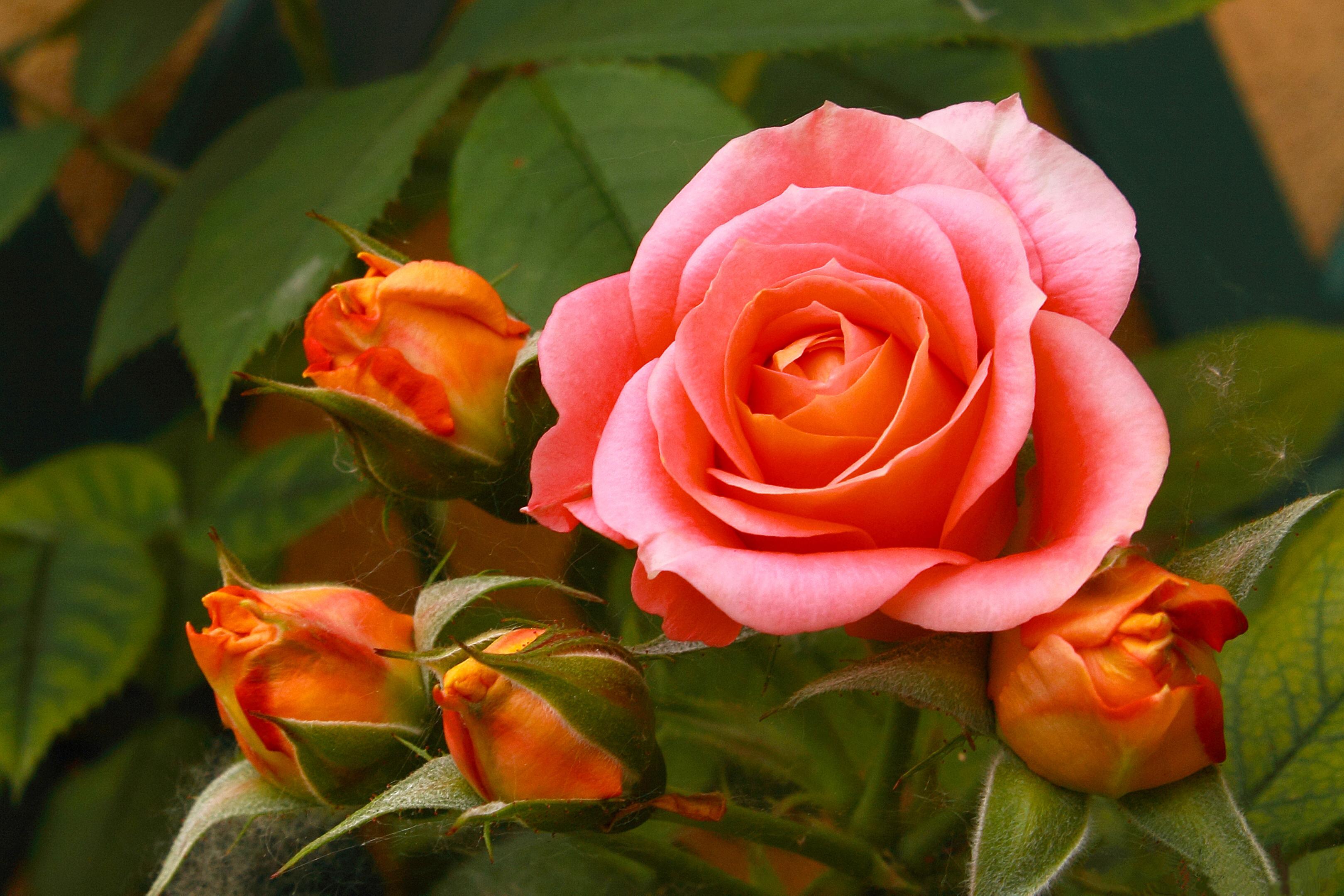 Фото розы очень высокого разрешения
