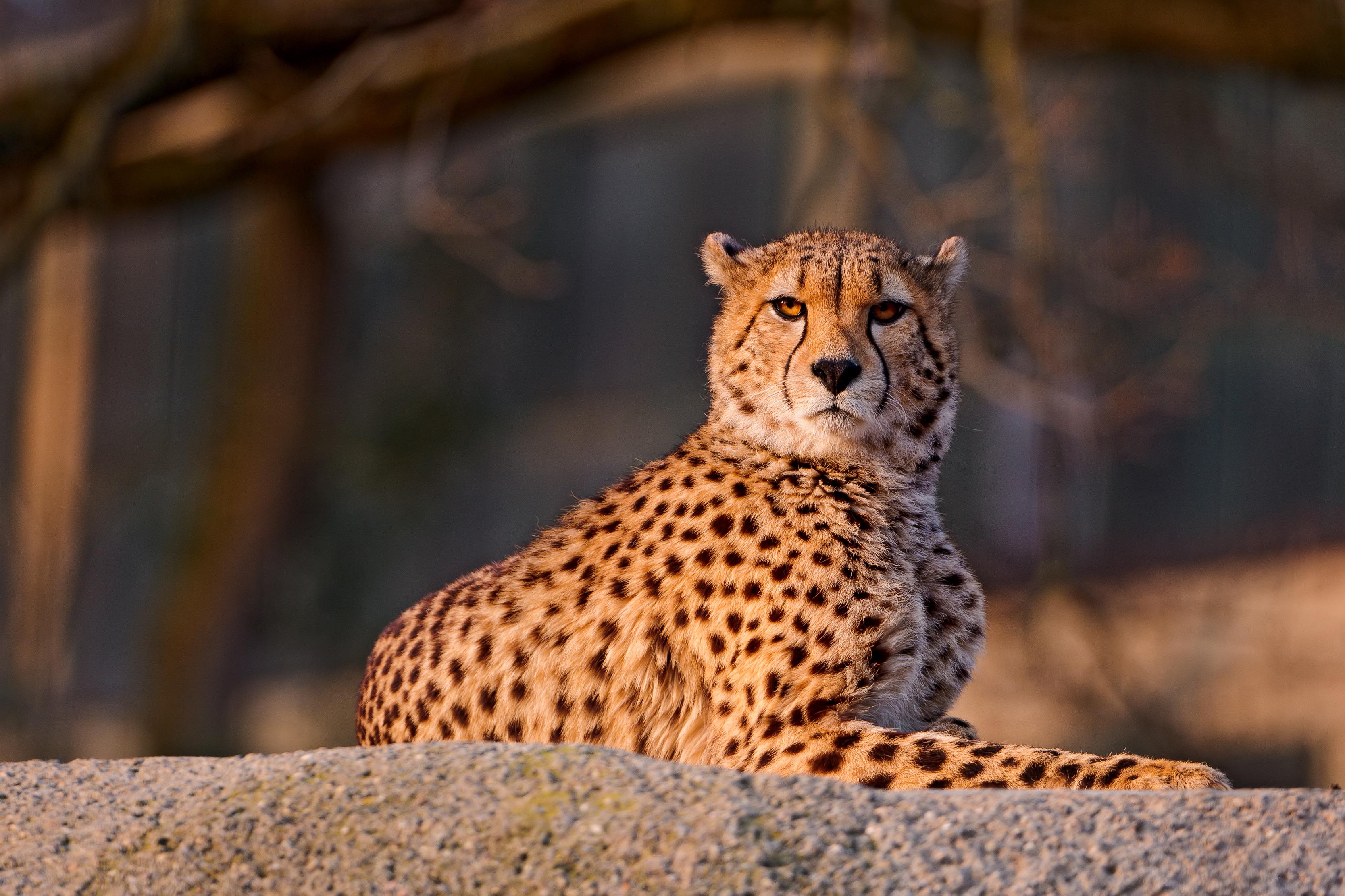 природа животные Гепарды камни трава дерево горизонт  № 276704  скачать