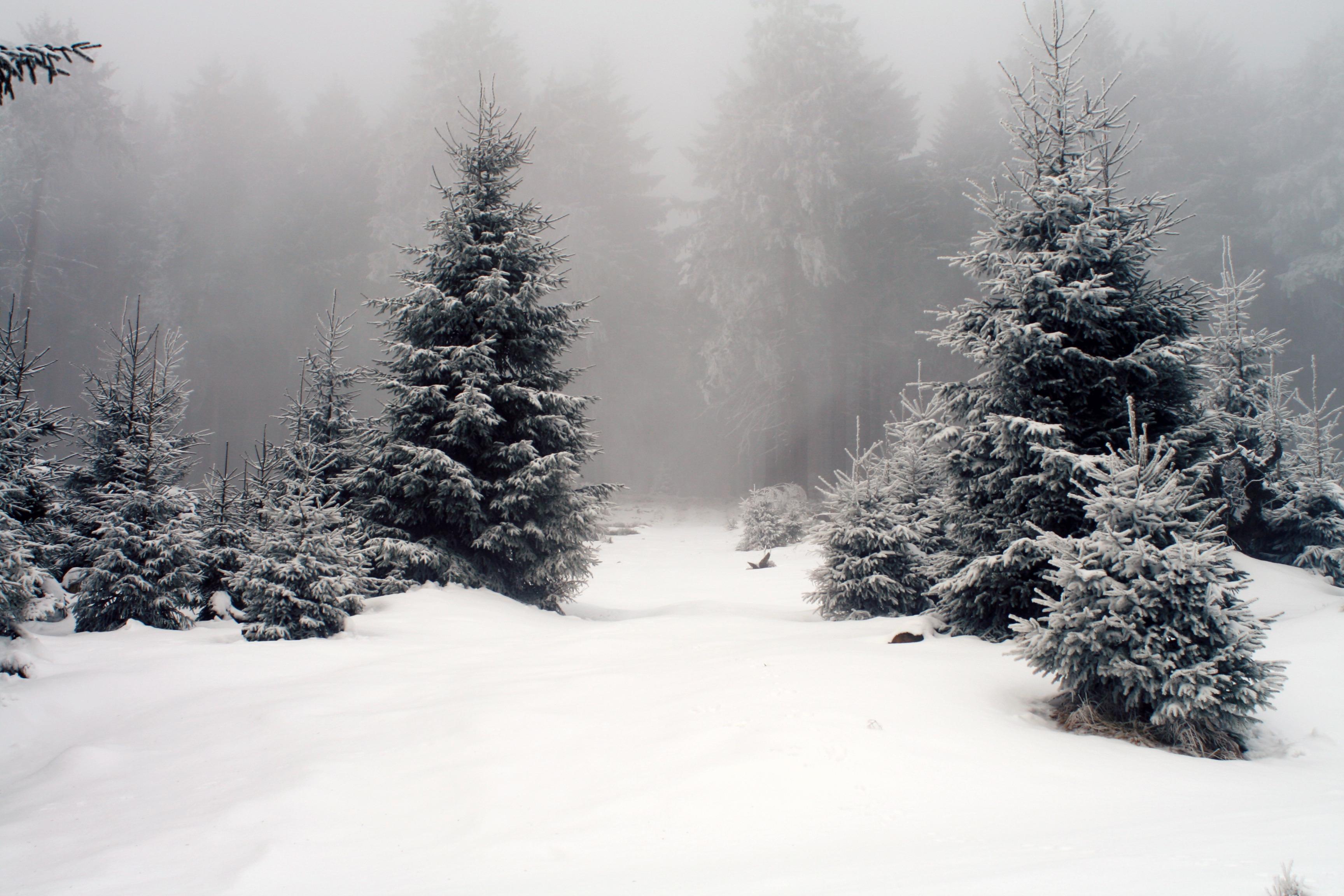 снег ели зима  № 3180856 без смс