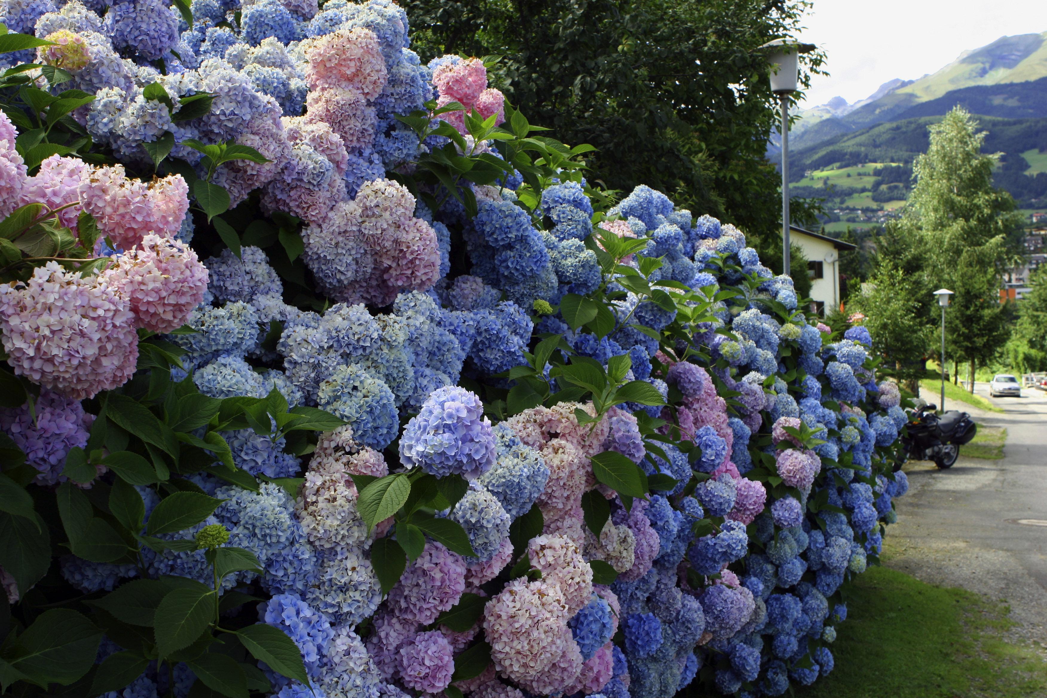 картинки для рабочего стола садовые цветы чем больше