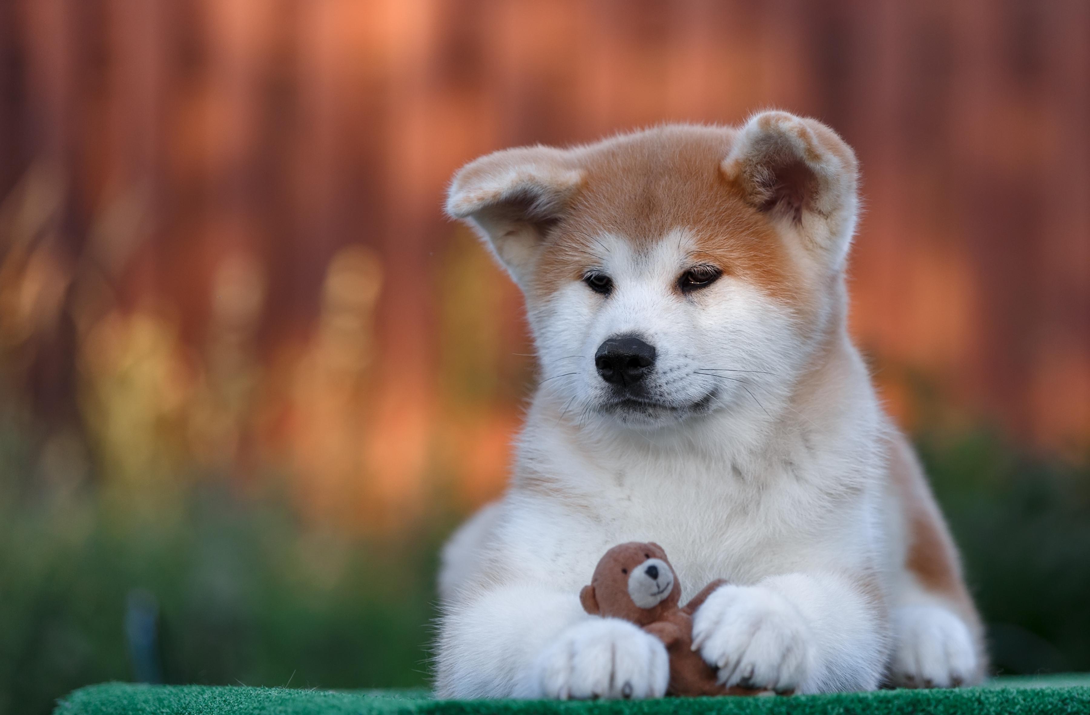 животное собака мару  № 2018109 без смс
