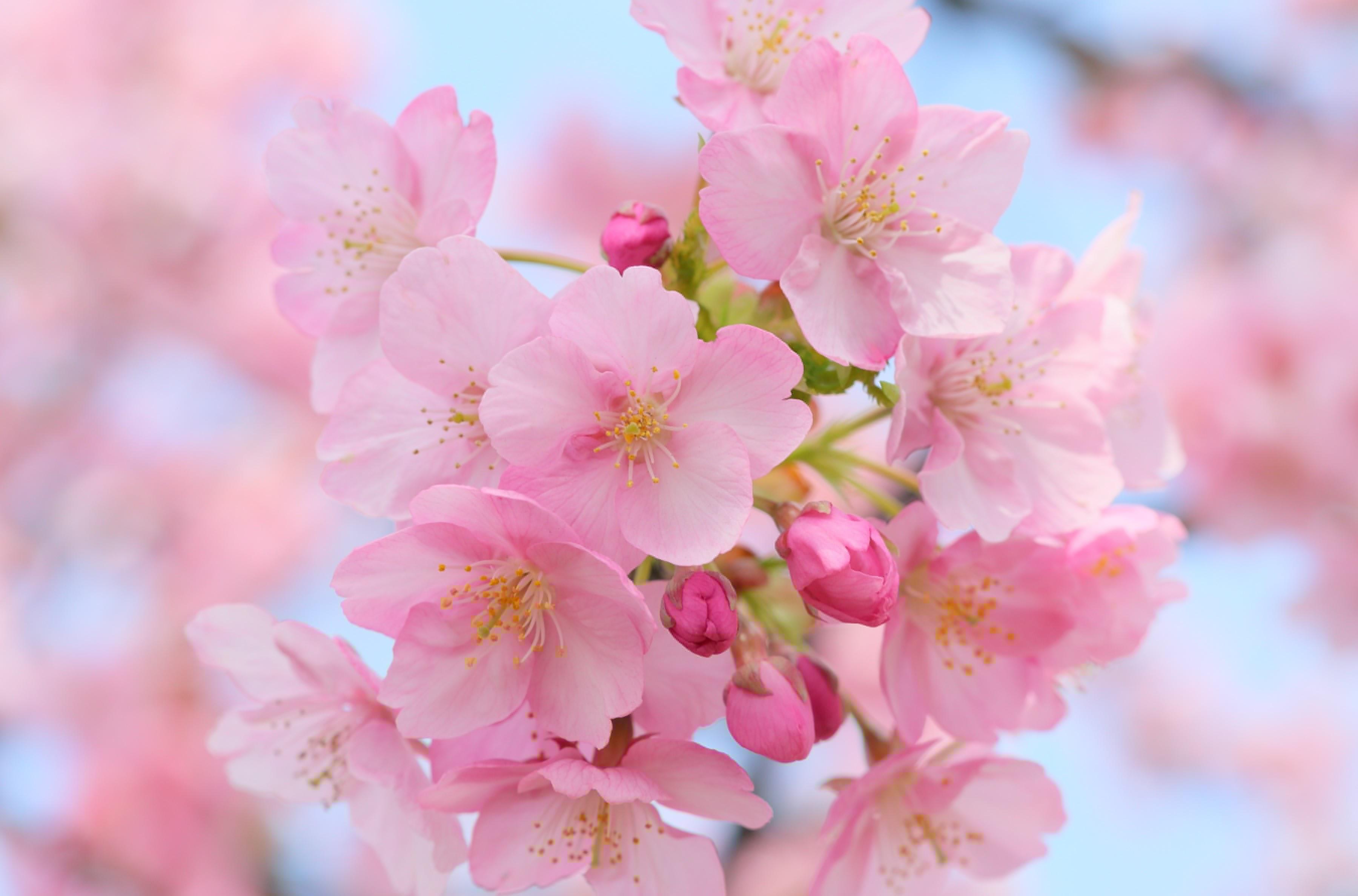 вишня цветение  № 2767136  скачать