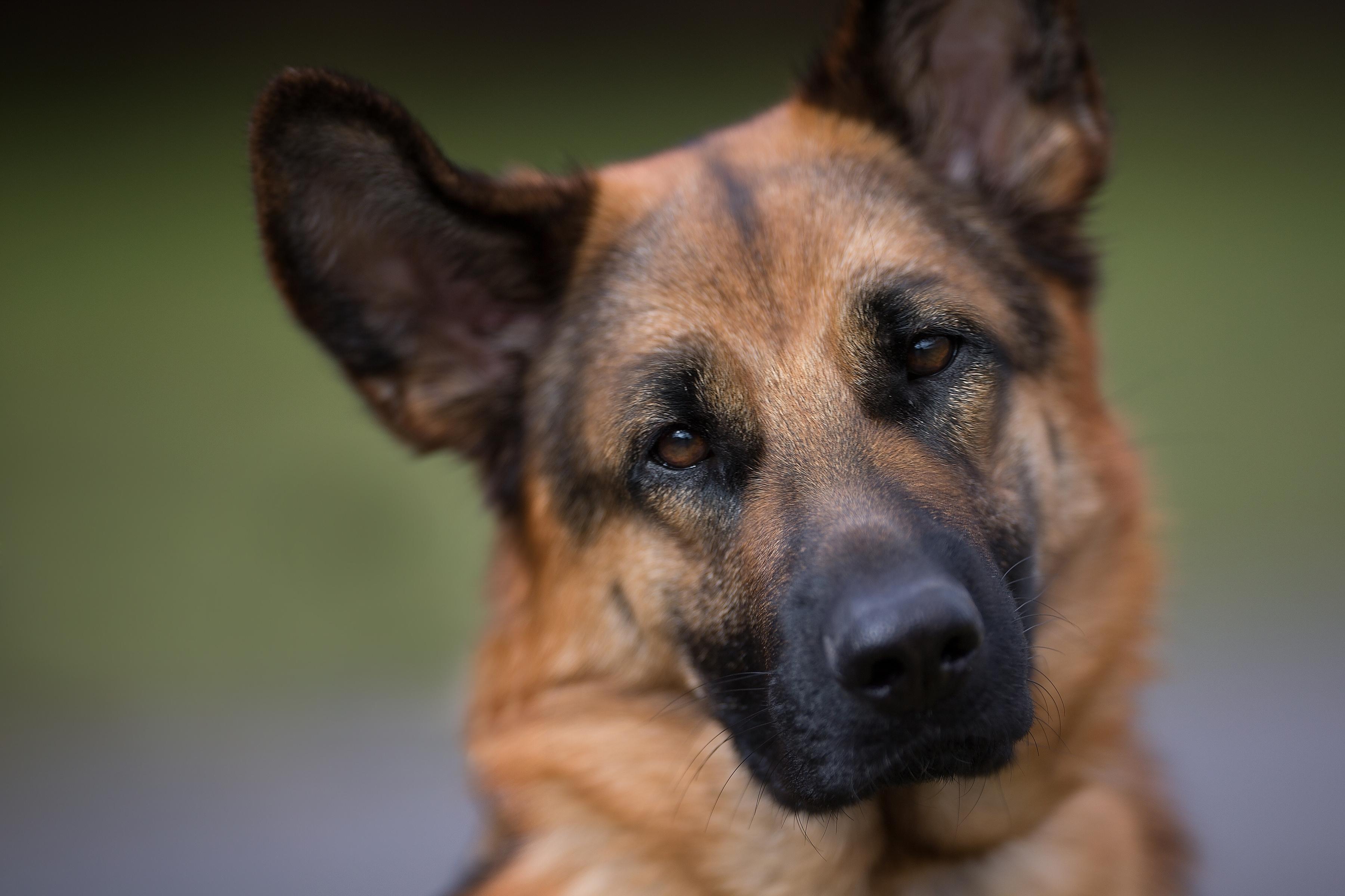 Овчарка собака пес  № 1980911  скачать
