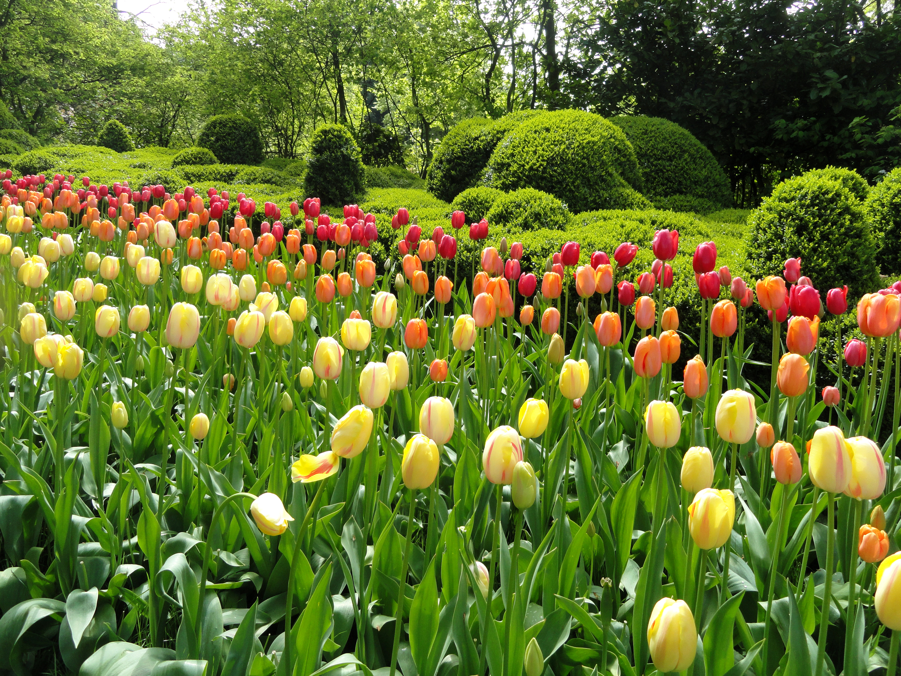 тюльпаны клумба  № 1349312 бесплатно