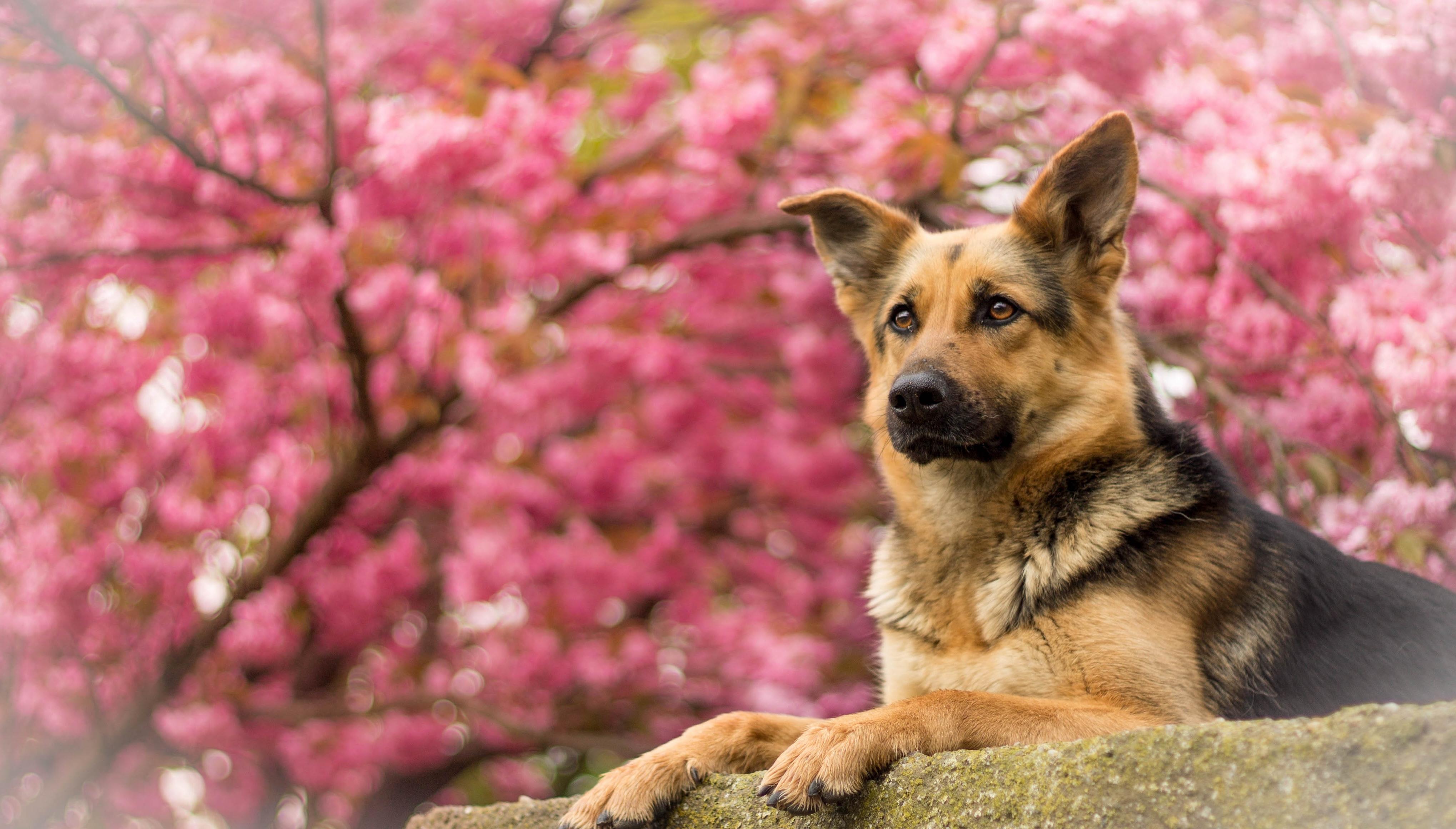 Овчарка собака пес  № 1980923 загрузить