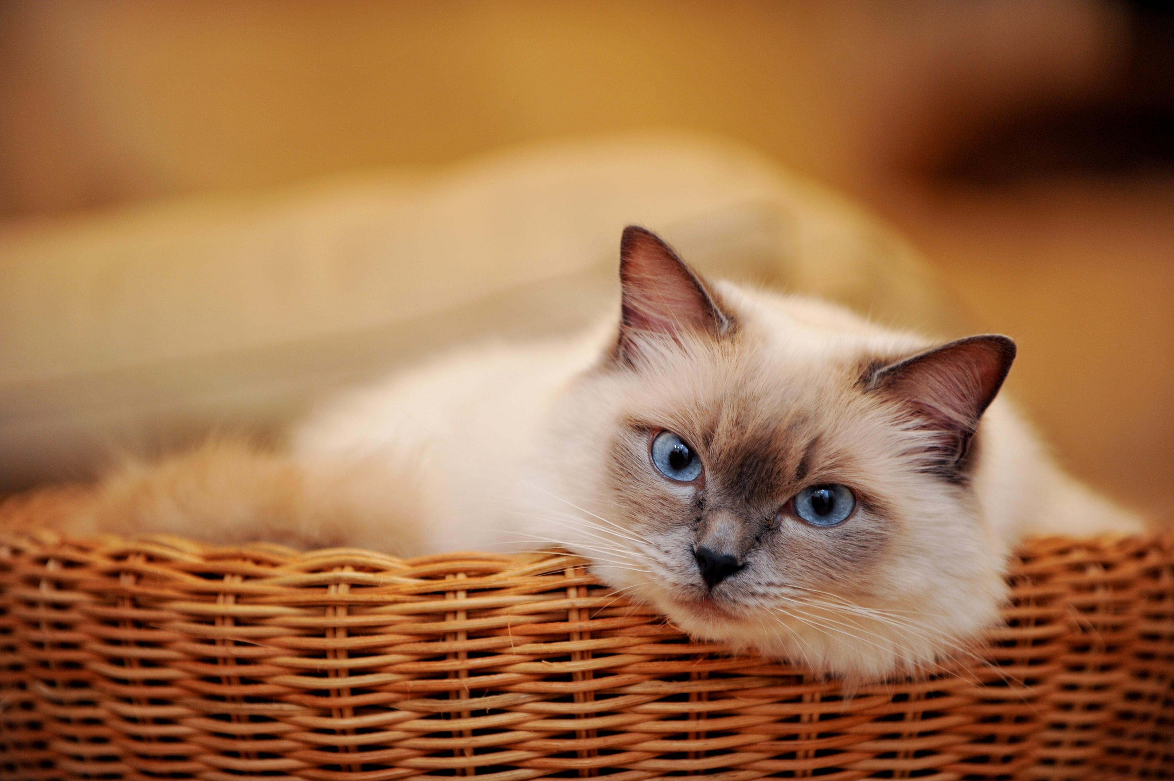 широкоформатные обои кошки на рабочий стол высокого качества бесплатно № 213507 бесплатно