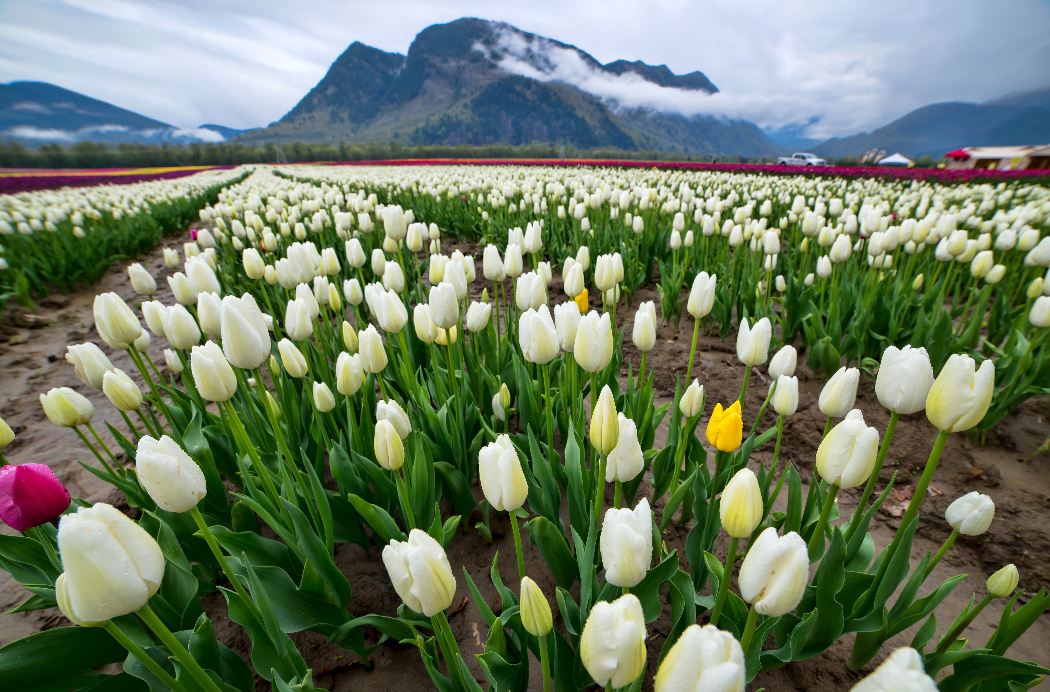 Картинки цветов тюльпаны белые