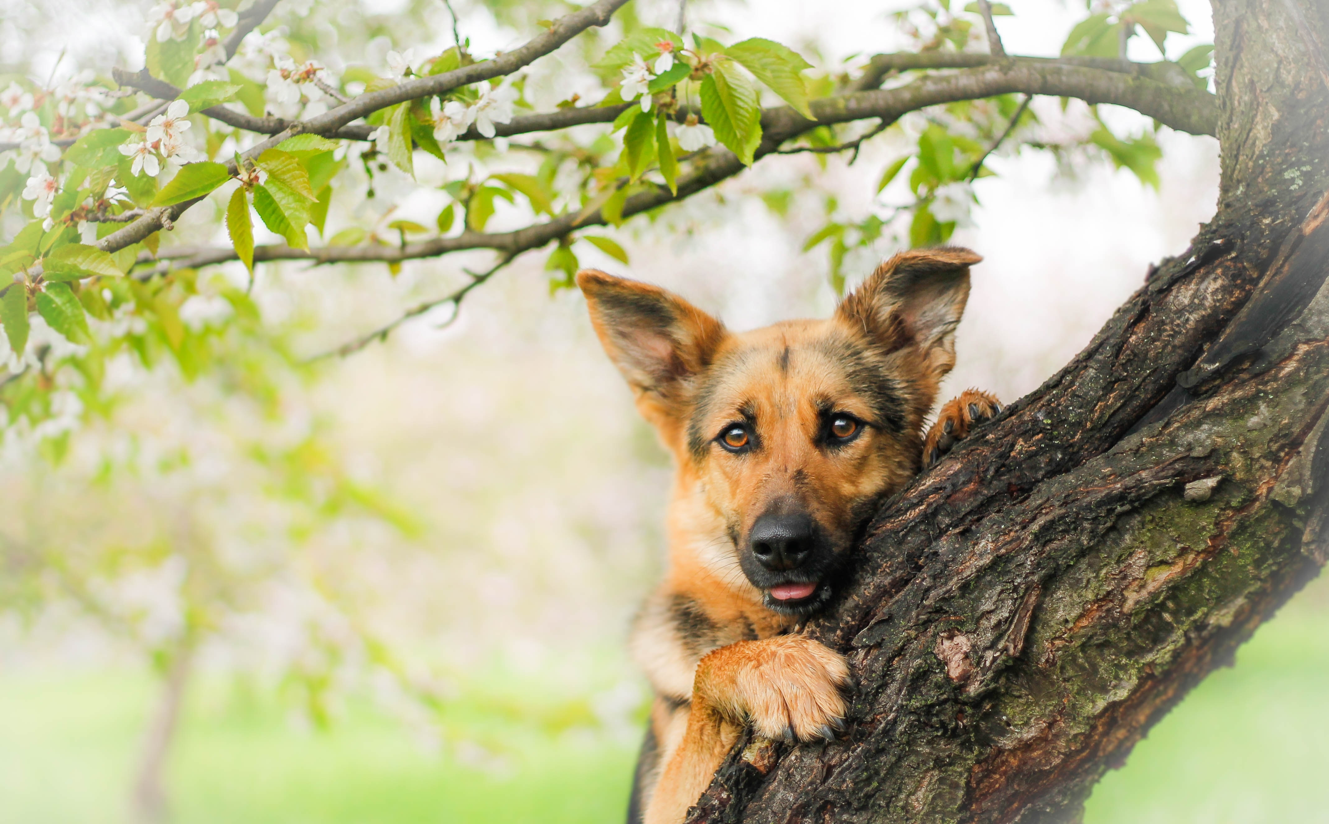 Овчарка собака пес  № 1980971 бесплатно