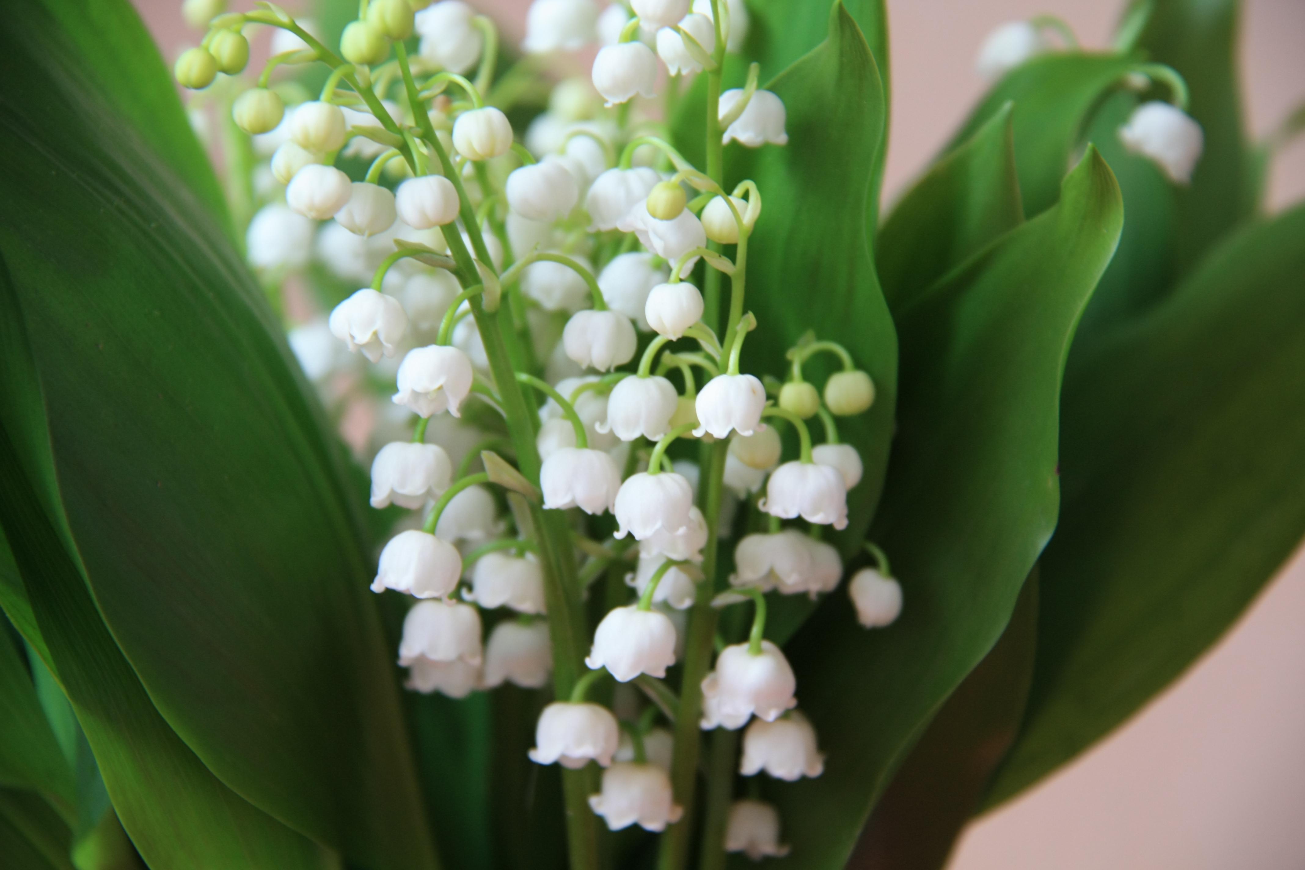 Цветы белые ландыши  № 1608727  скачать