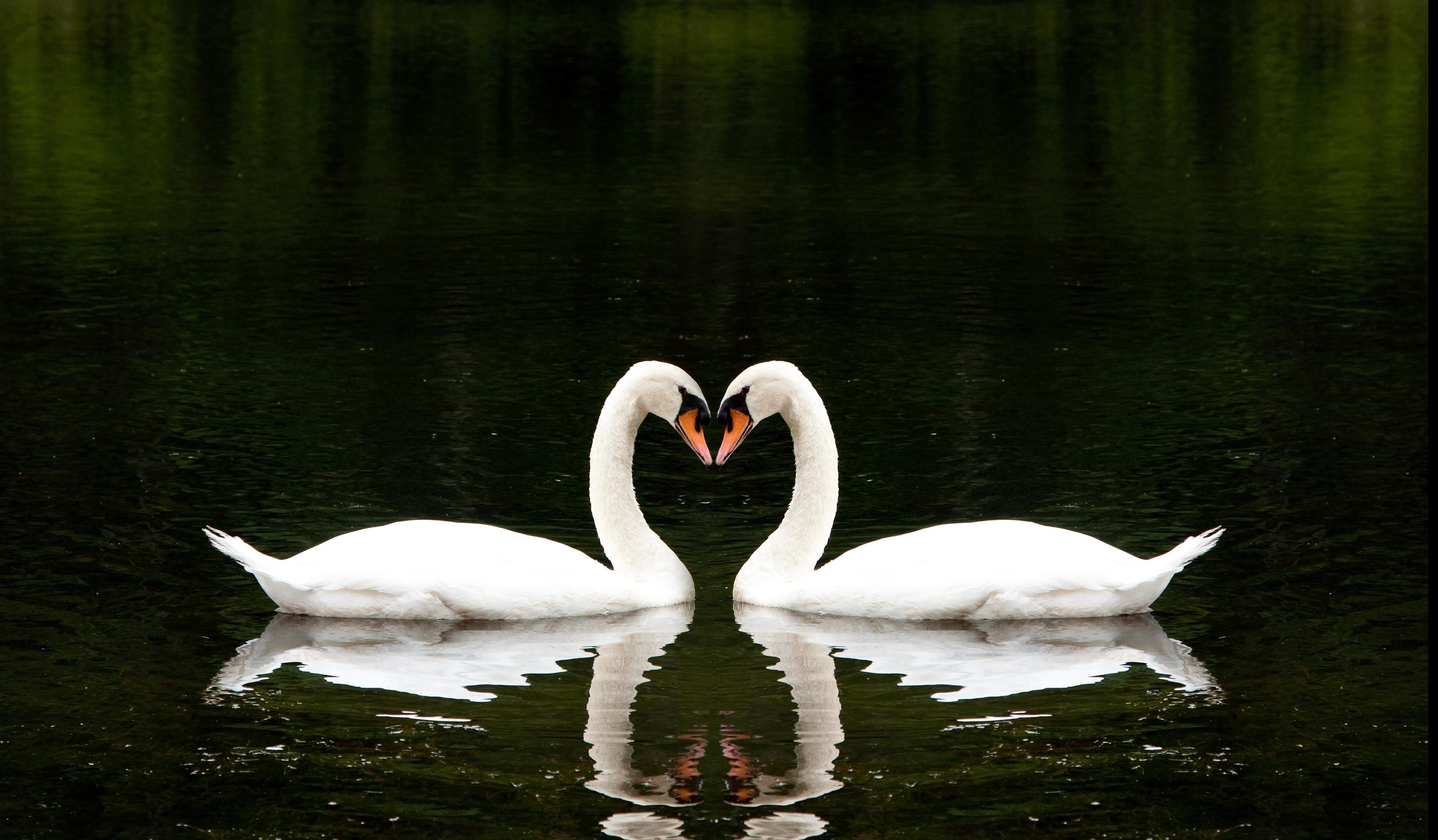 Красивые картинки с лебедями о любви, днем