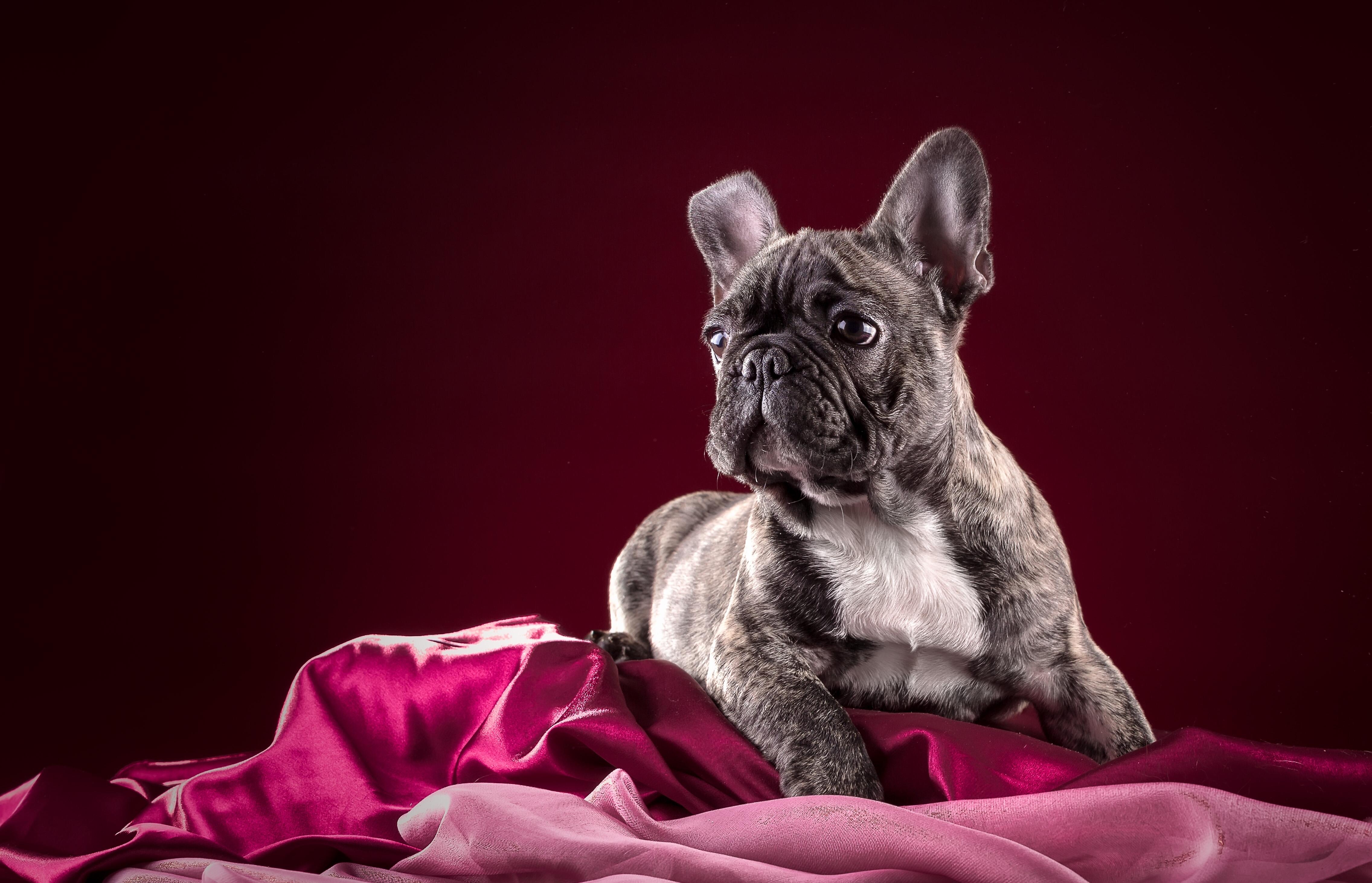 Собака животное французский бульдог  № 2228299  скачать