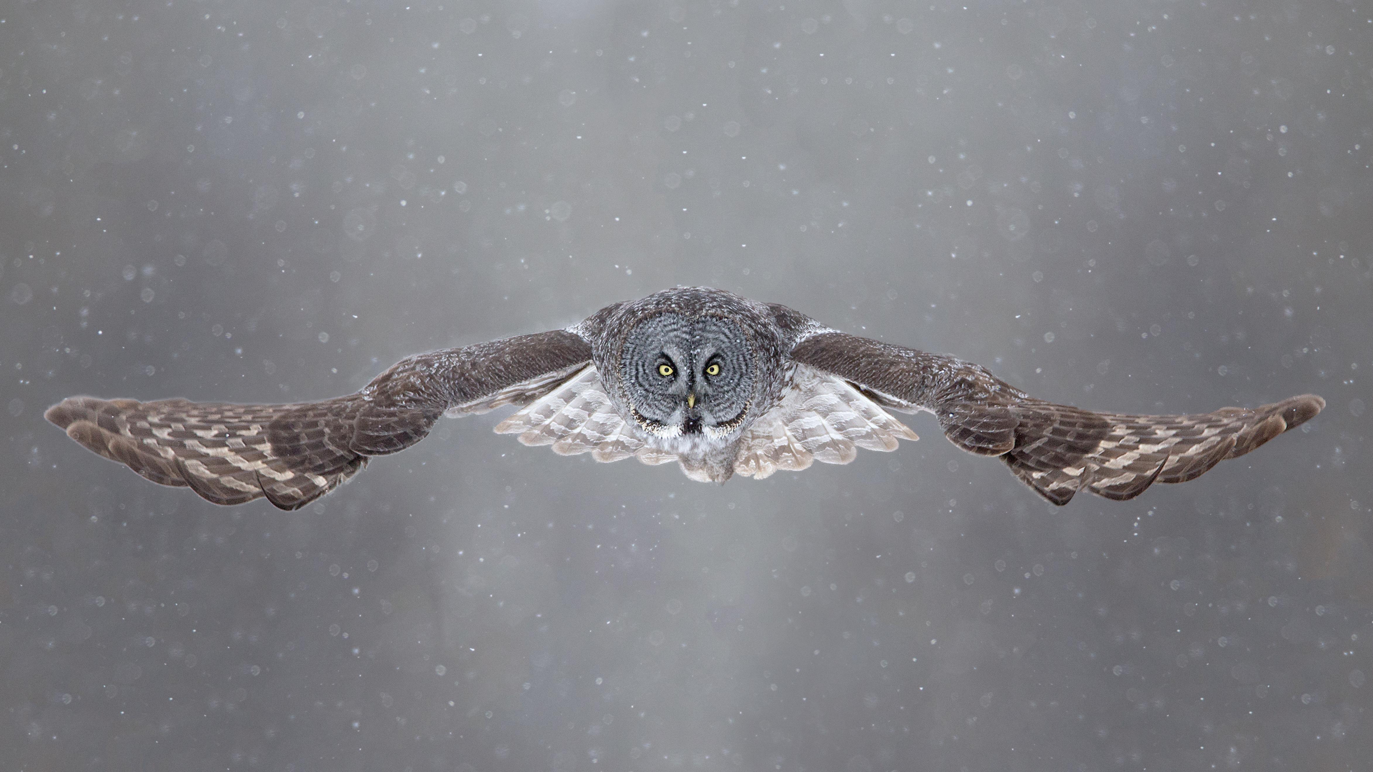 Летящая сова  № 481188  скачать