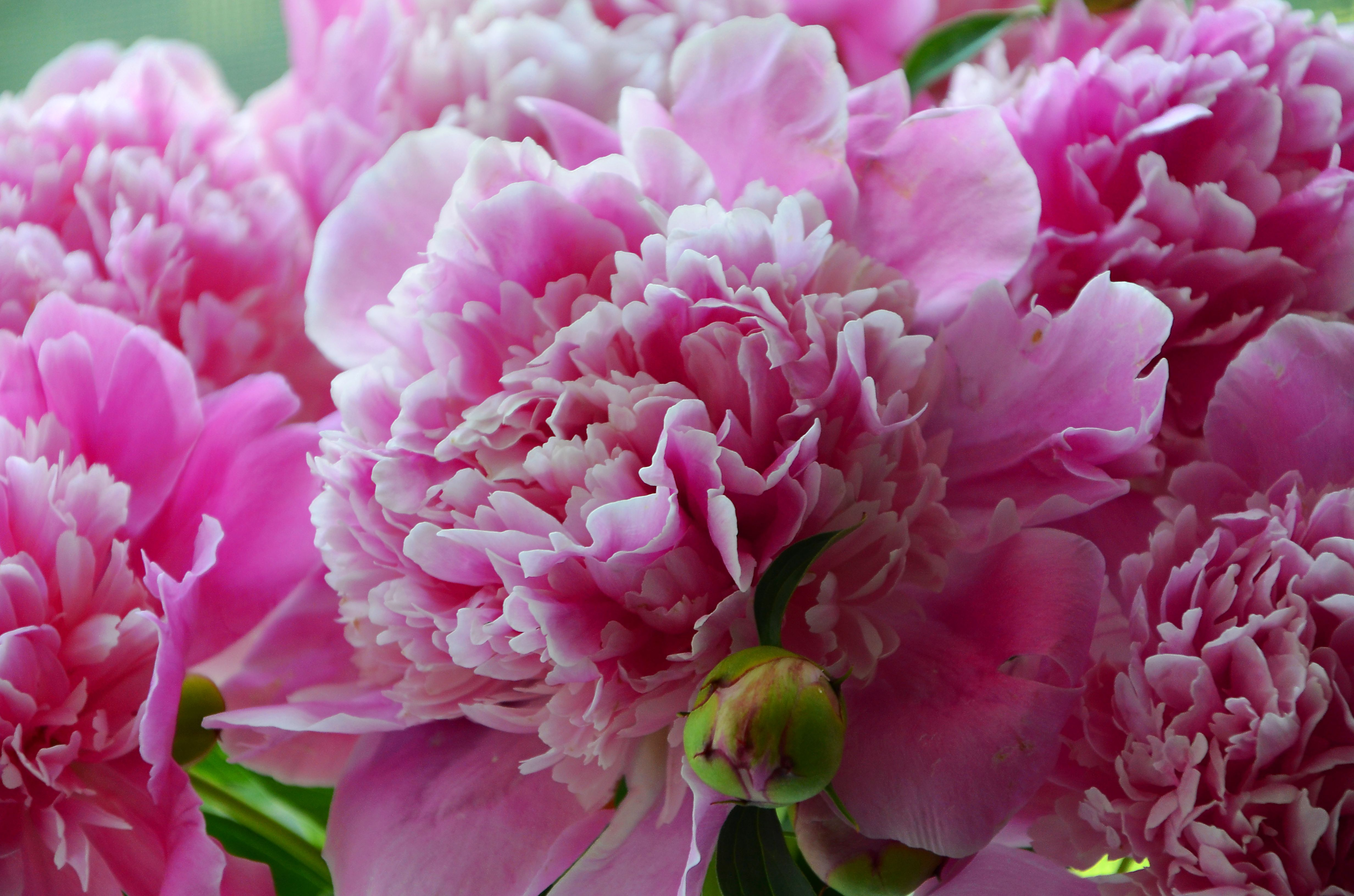 Работе прикольные, картинки цветов пионов обои