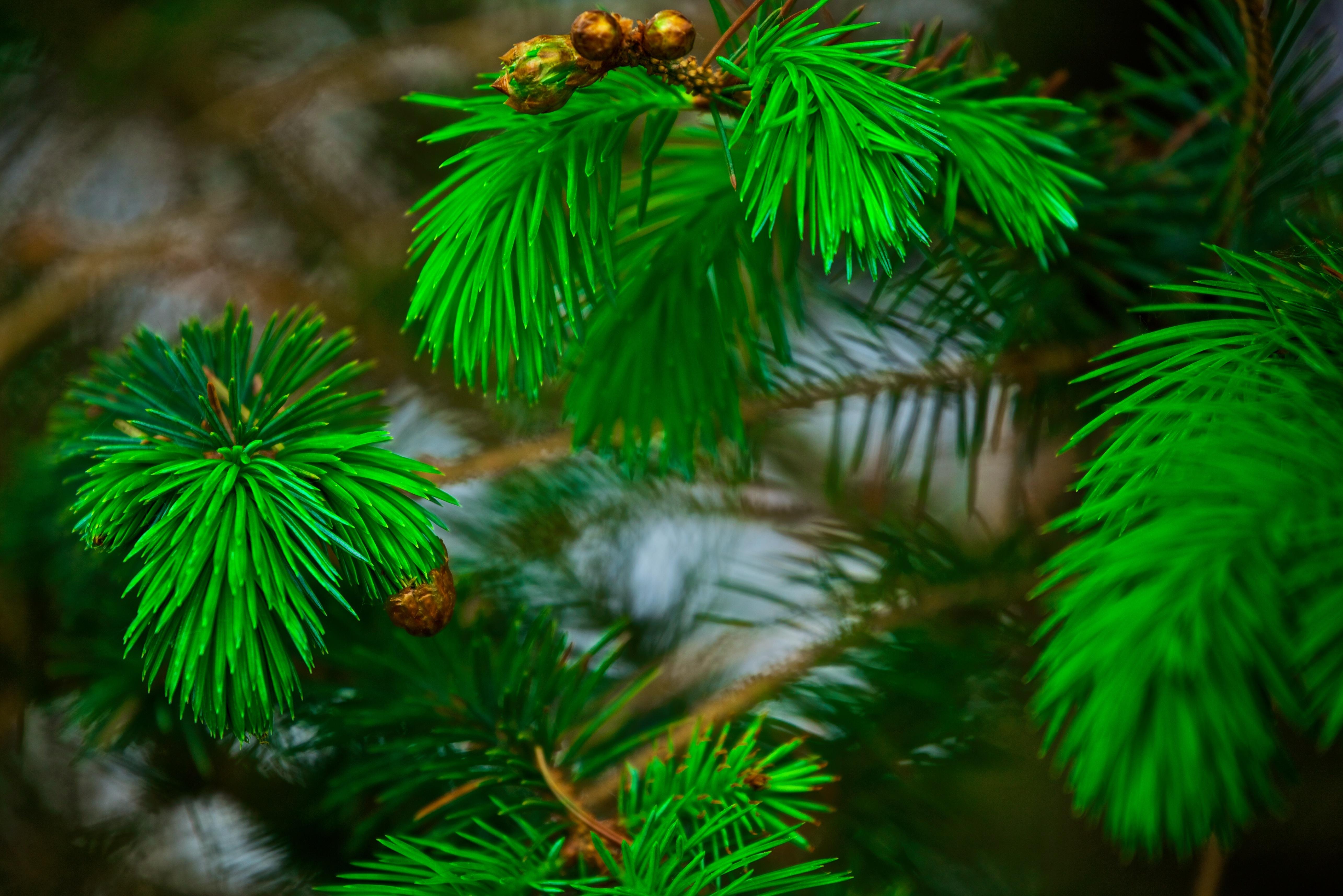 природа деревья ель  № 316171 бесплатно