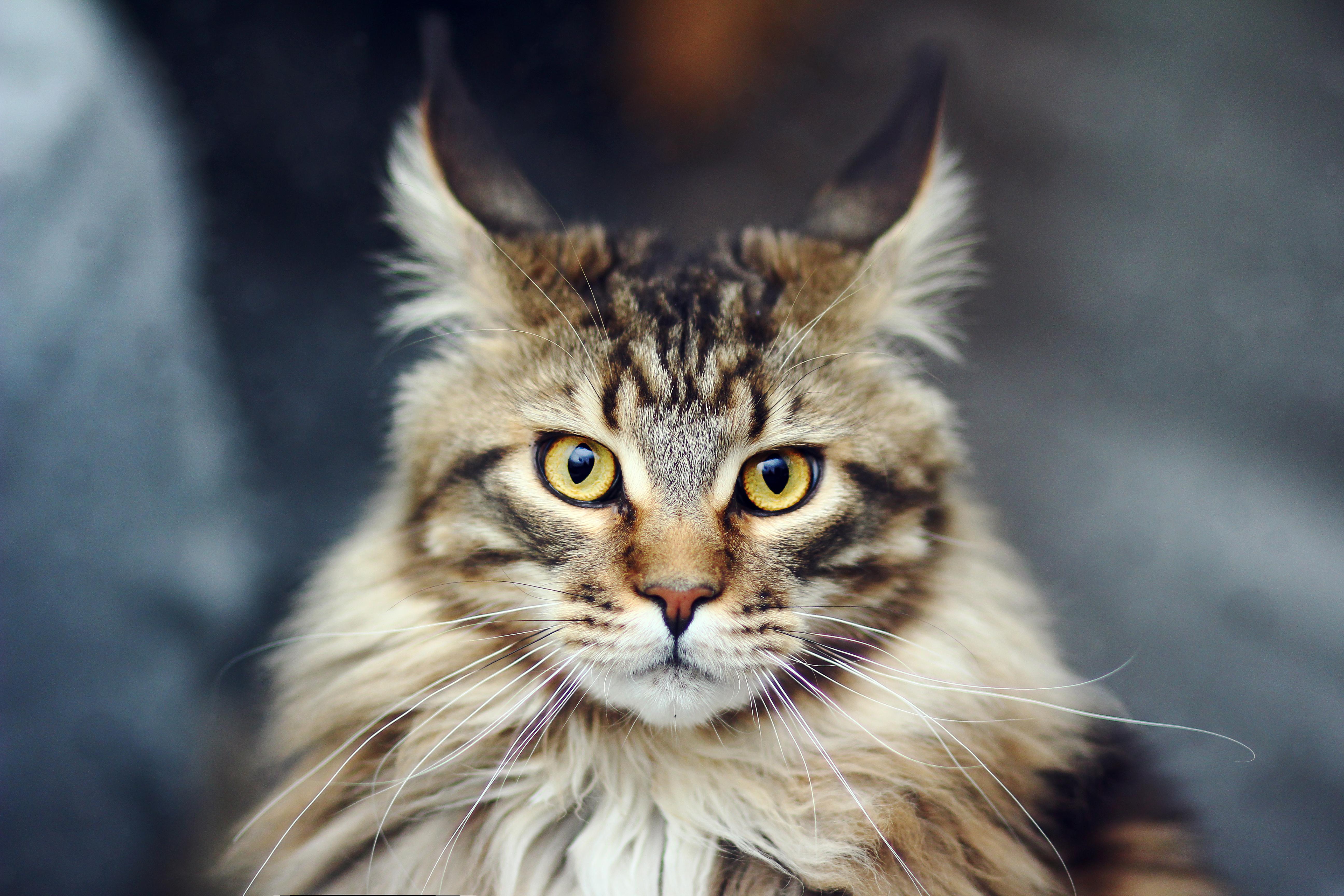 Кошка Мэйкун.