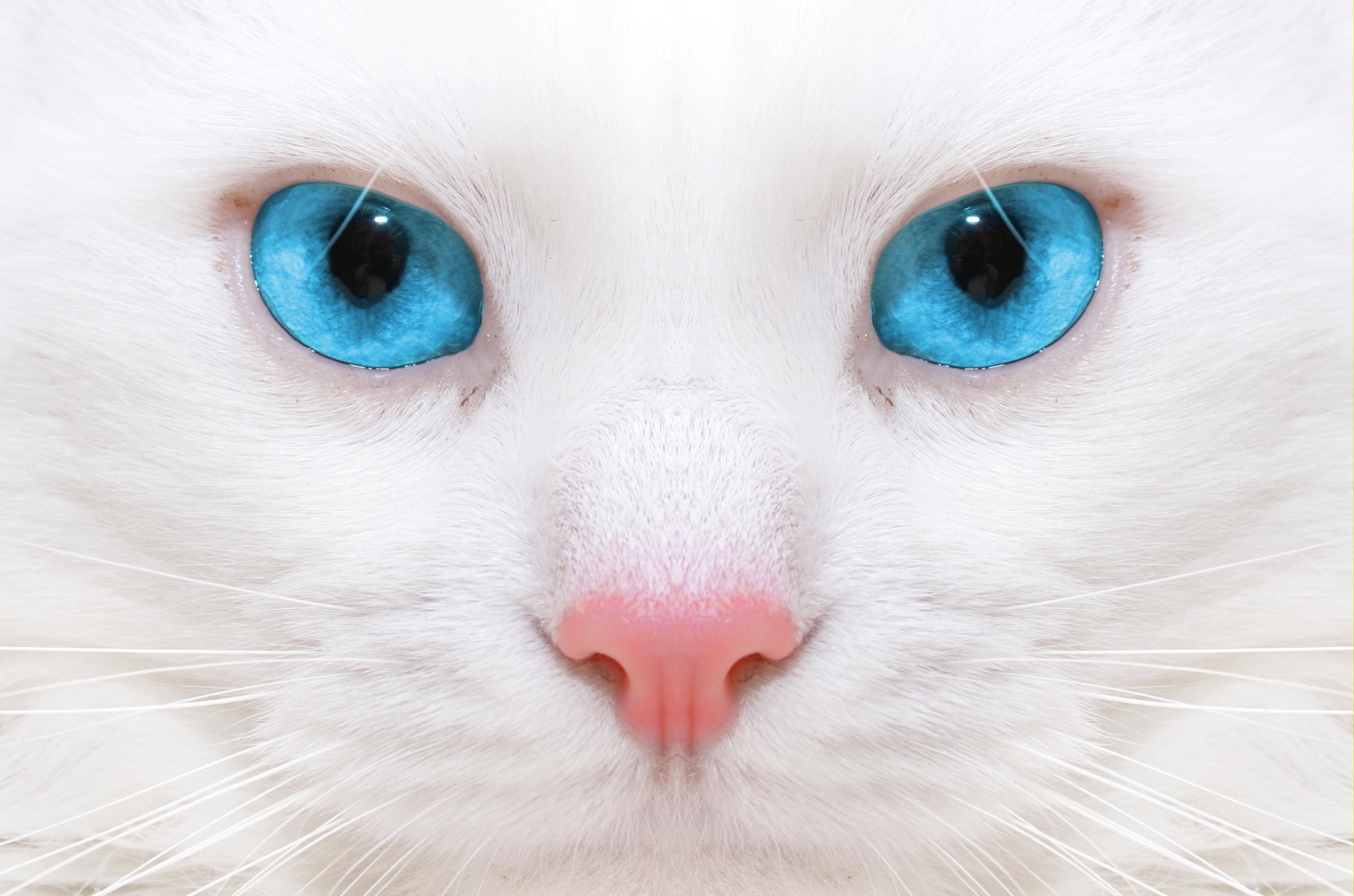 Красивые картинки кот с голубыми глазами