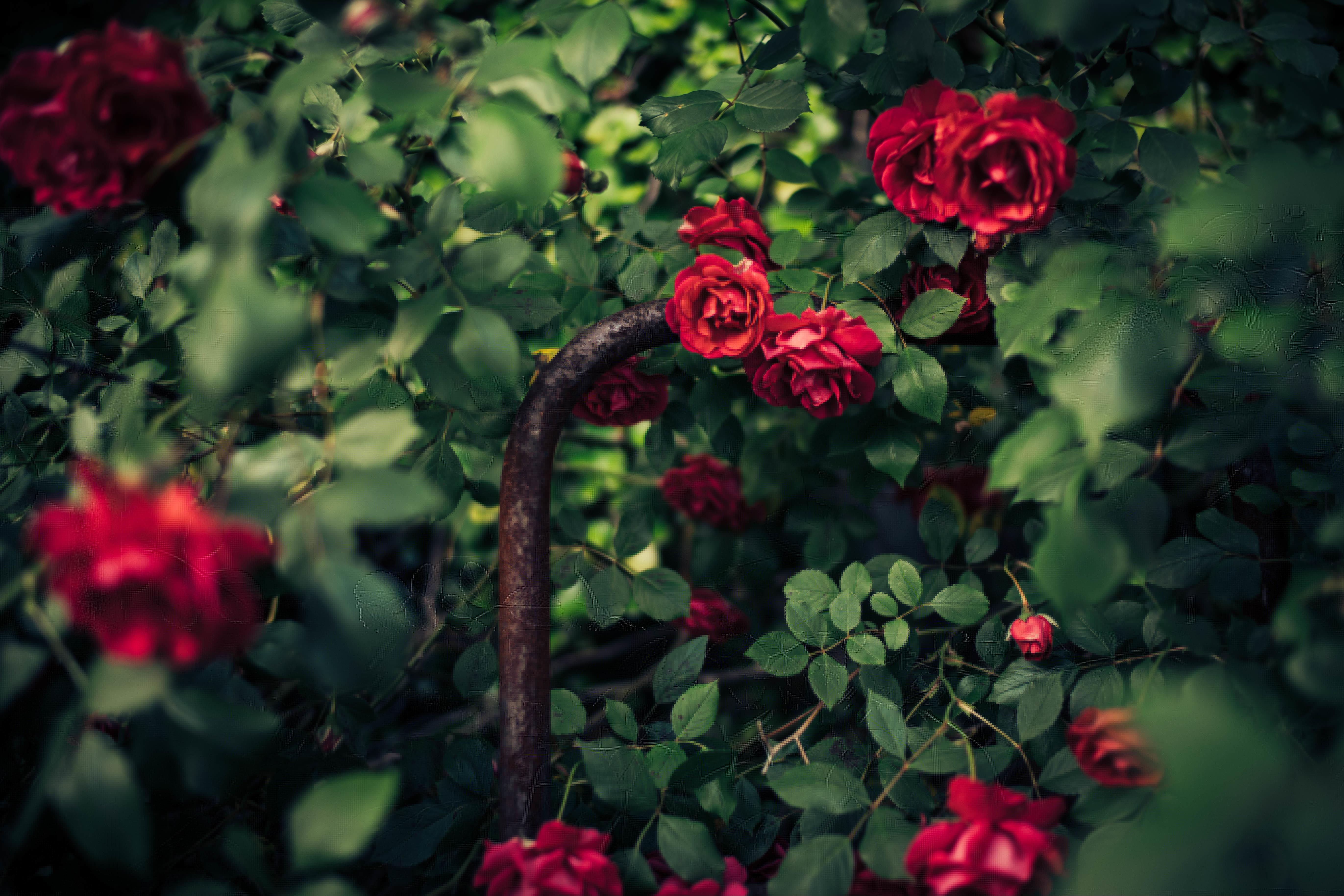 фотообои сад из красных роз знает, чтоб жила