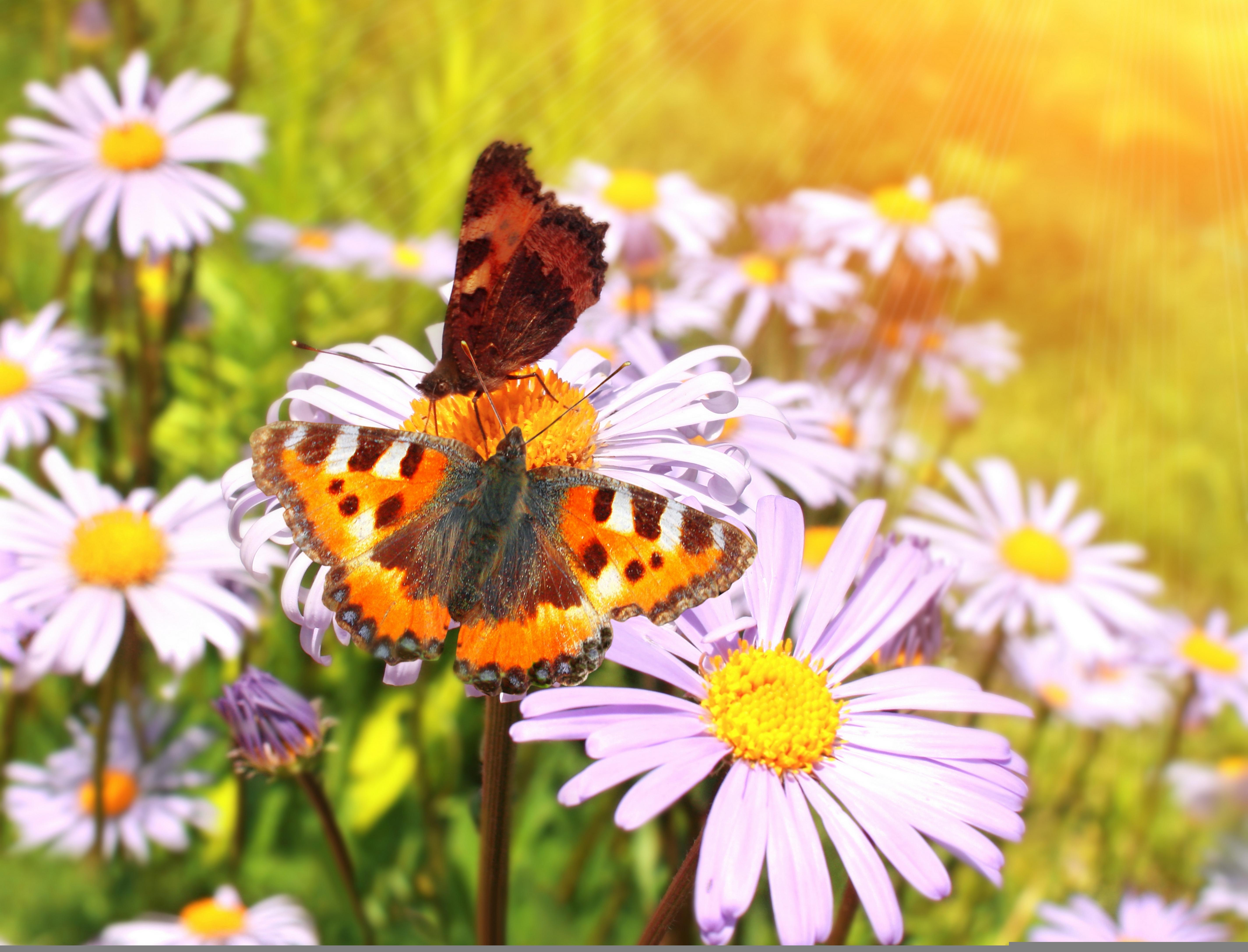Картинка поле с ромашками и бабочками