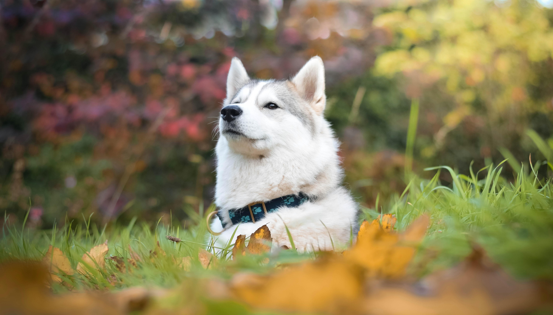 природа животное собака морда хаски  № 3886554 бесплатно