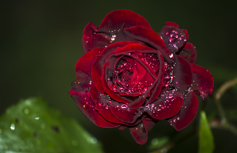 оформления красивые картинки цветы в росе словам звезды, максим