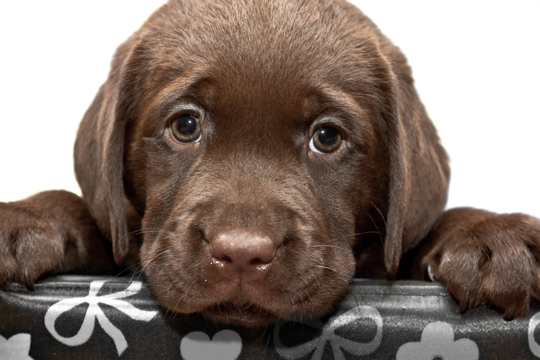 лабрадор фото собаки щенки