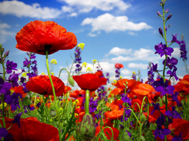 https://img2.goodfon.ru/original/640x480/0/27/poppy-field-wild-flowers.jpg