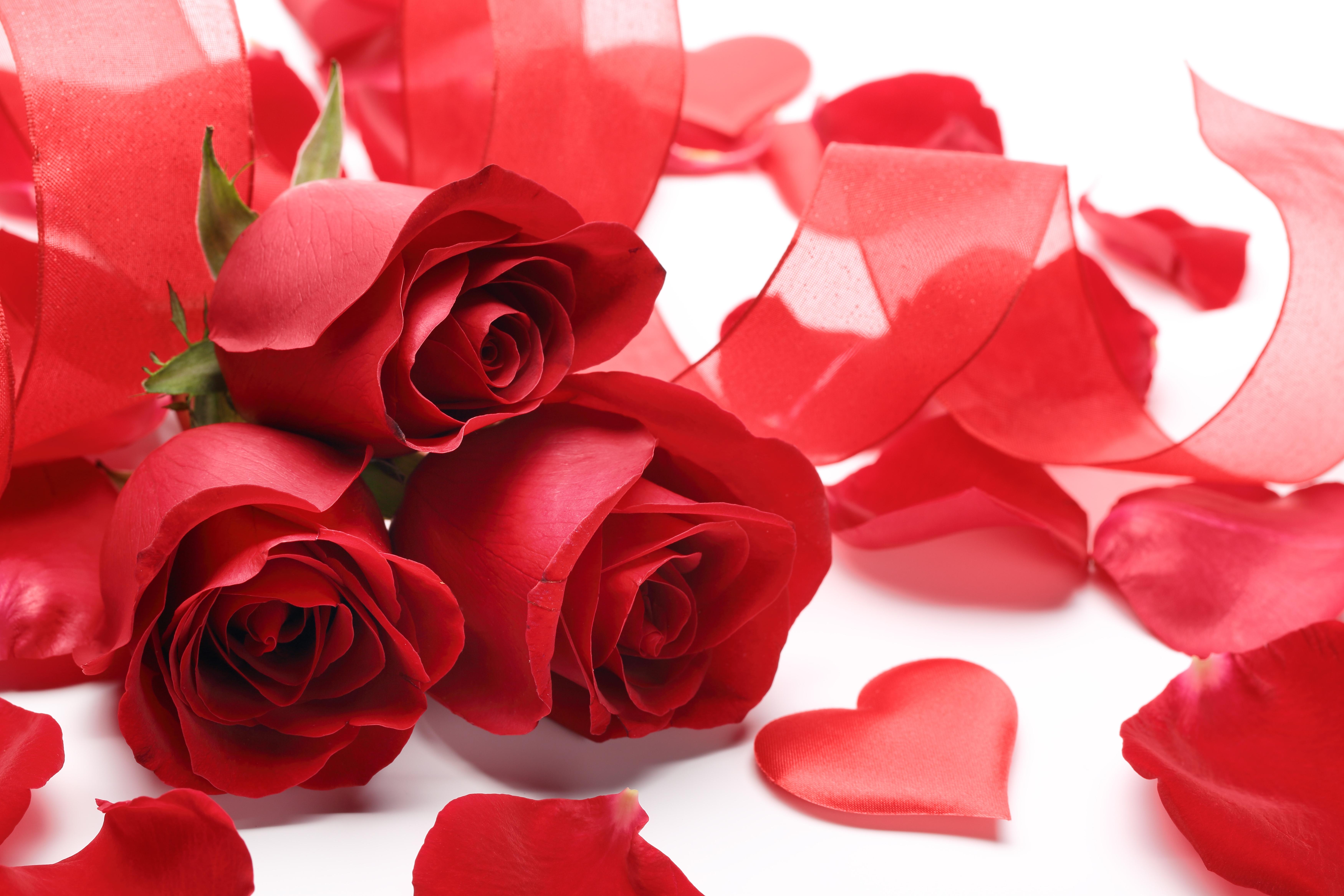 Цветы розы скачать