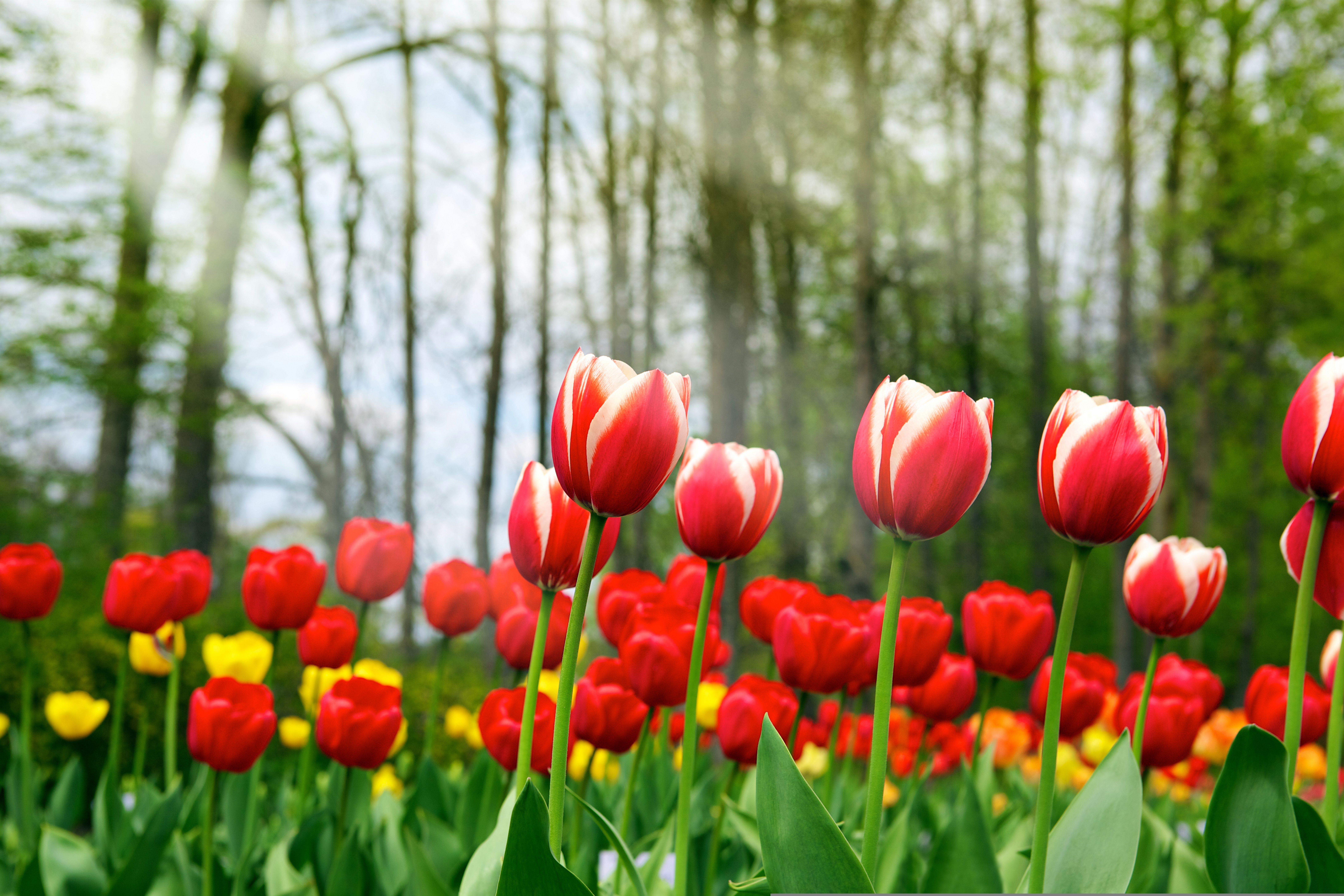 Весна тюльпаны фото кастрюле