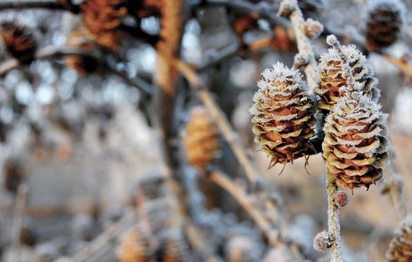 Картинка зима, снег, ветки, природа, шишки, nature, 1920x1200, winter, snow, боке, bokeh, branches, pinecones